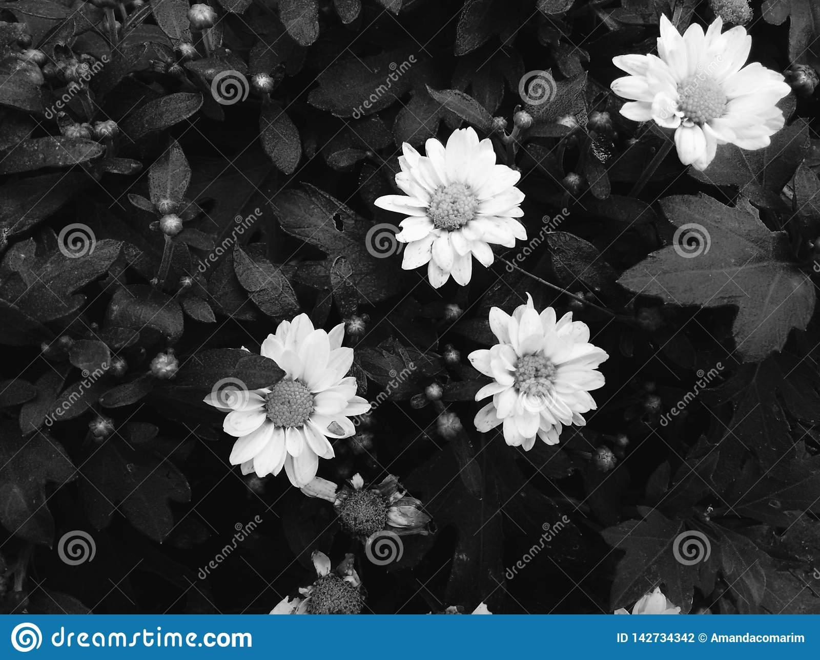 Daisy flower in black and white