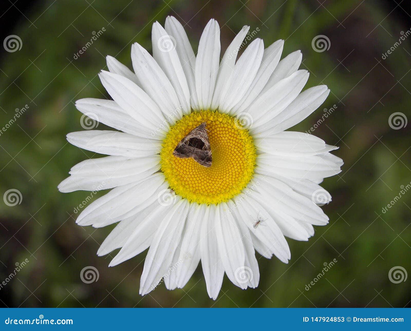 Daisy flower with moth