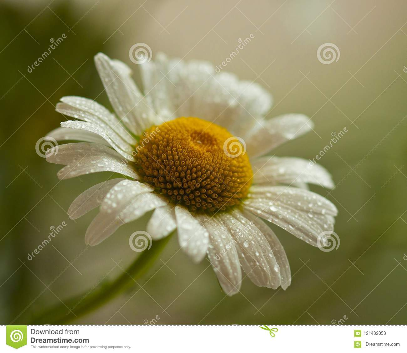White Daisy Petal After Rain Stock Image Image Of Petals Warm