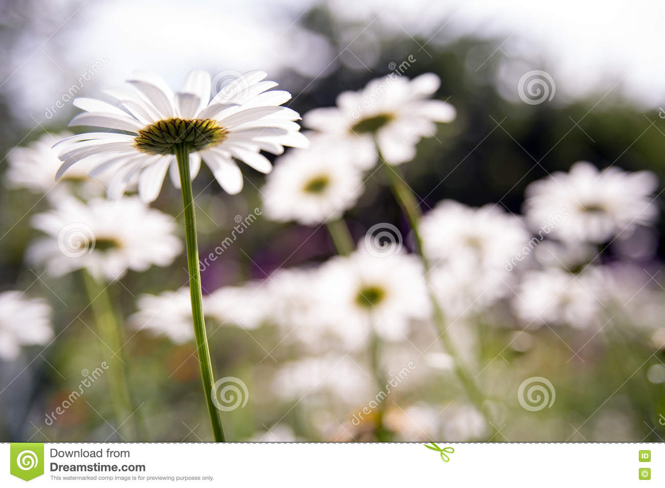 Daisy Flower Stock Photo Image Of Vivid Colorful Nature 73174492