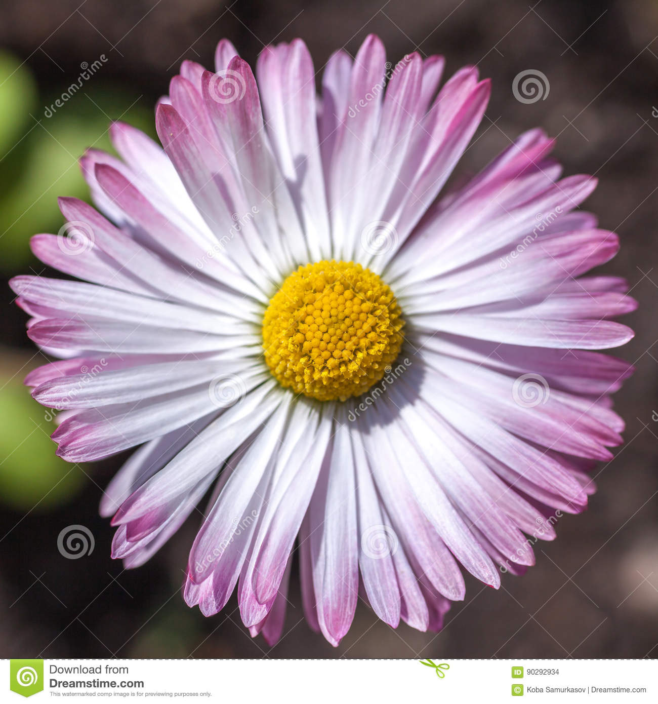 Daisy Flower With Pink Edges Spring Time Stock Photo Image Of