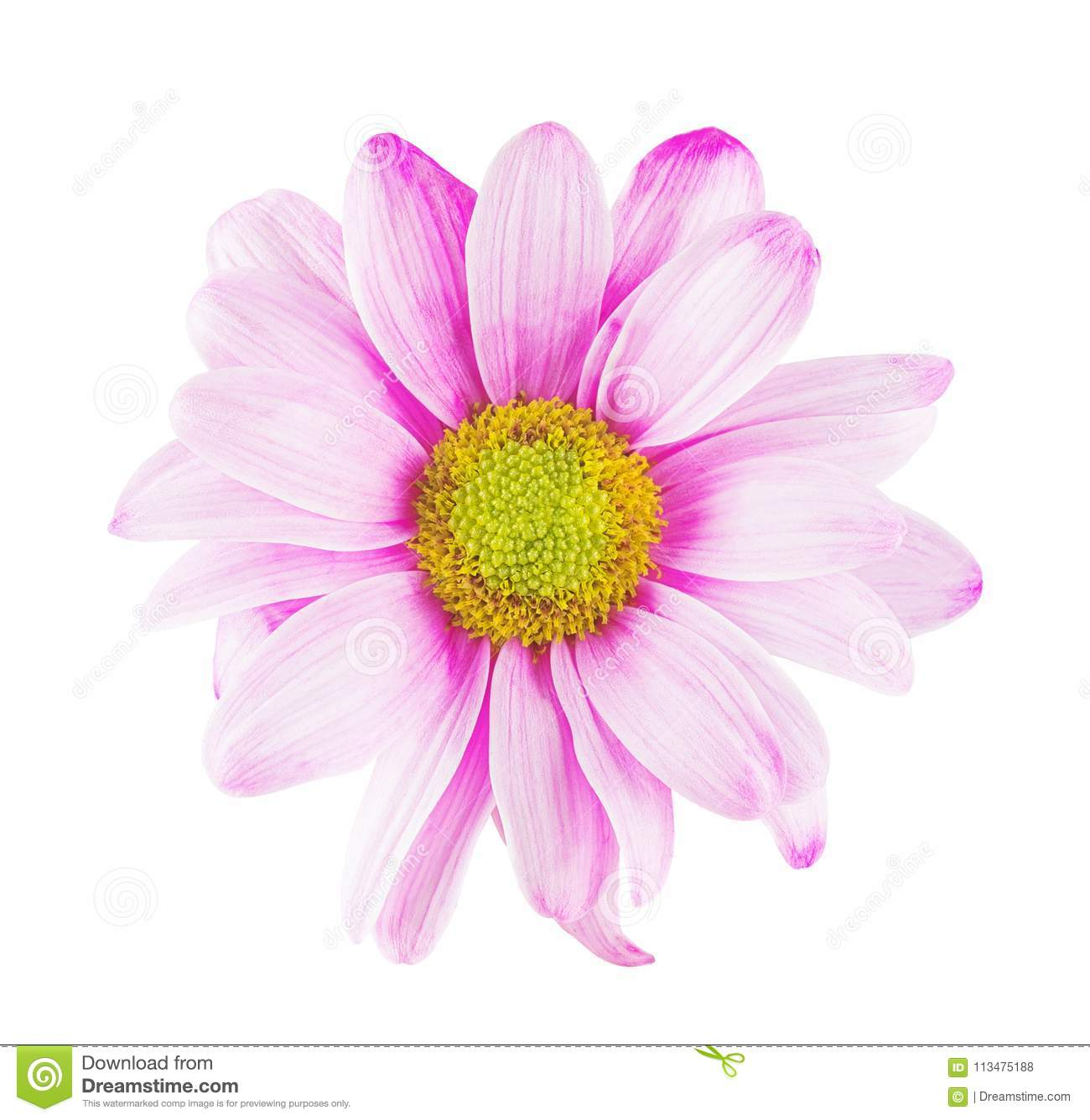 Daisy Flower With Pink White Petals And Yellow Heart On White