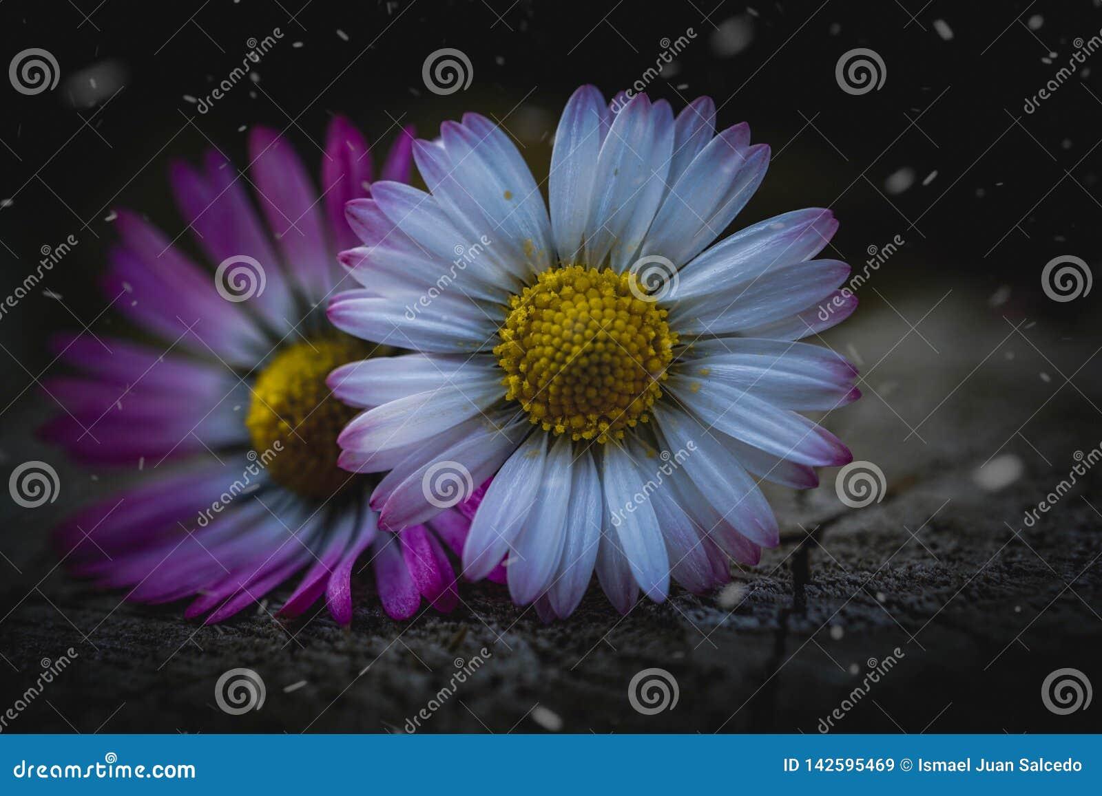 Daisy flower plant petals in springtime