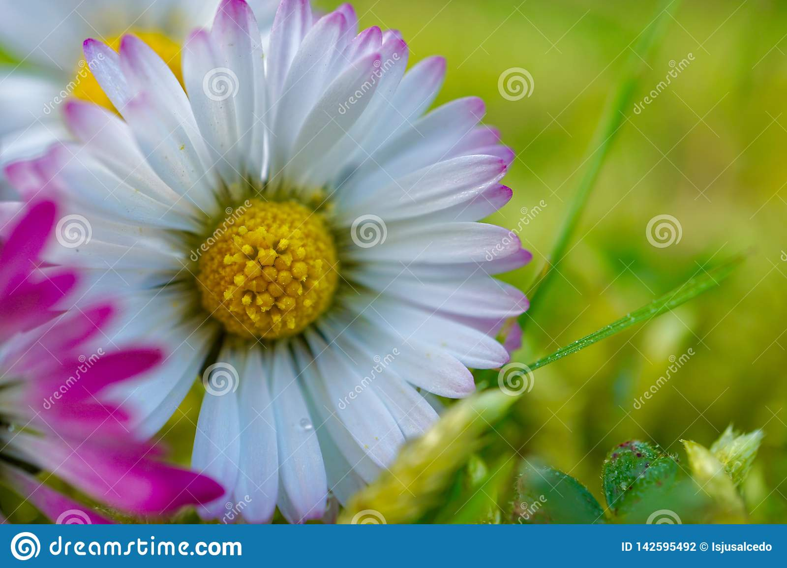 Daisy flower plant petals in springtime