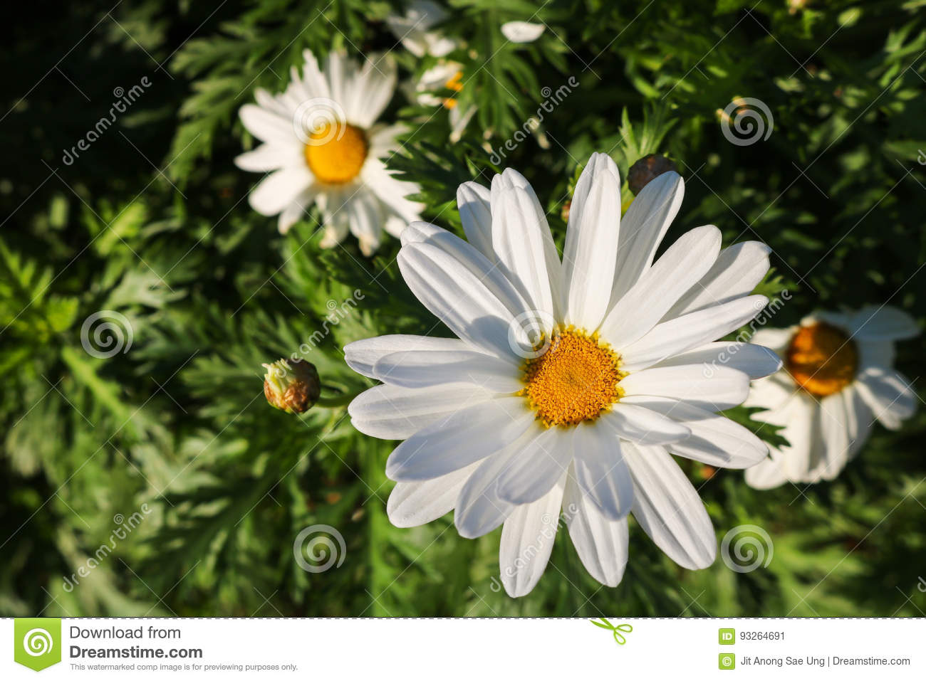 The daisy flower symbolizes innocence a loyal love and gentlene download comp izmirmasajfo