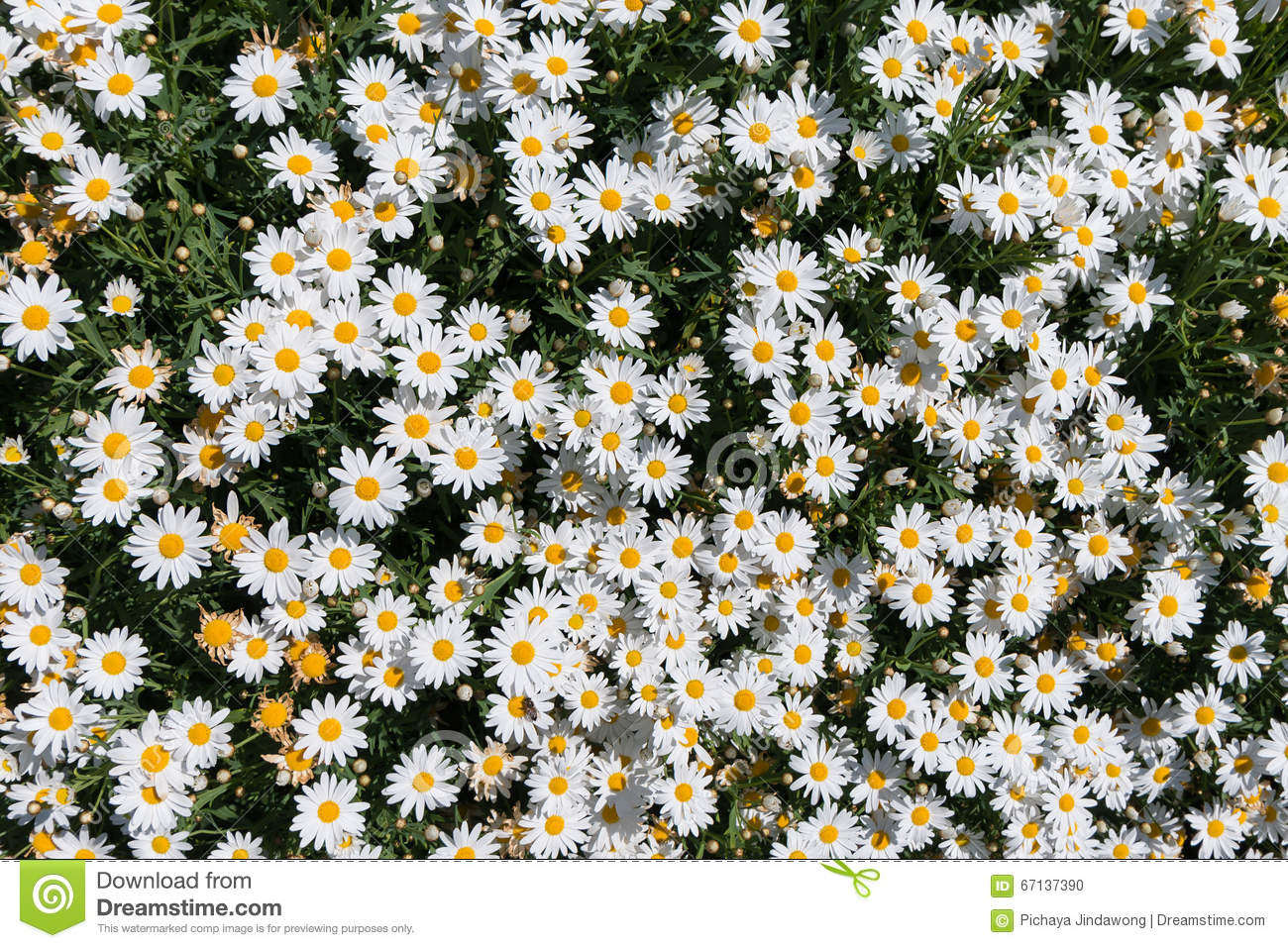 Daisy flower texture background top view stock photo image of download comp izmirmasajfo