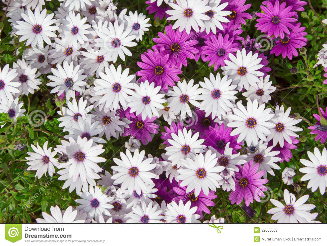Daisy flower stock photo image of up blossom bloom 32660068 daisy flower izmirmasajfo Image collections