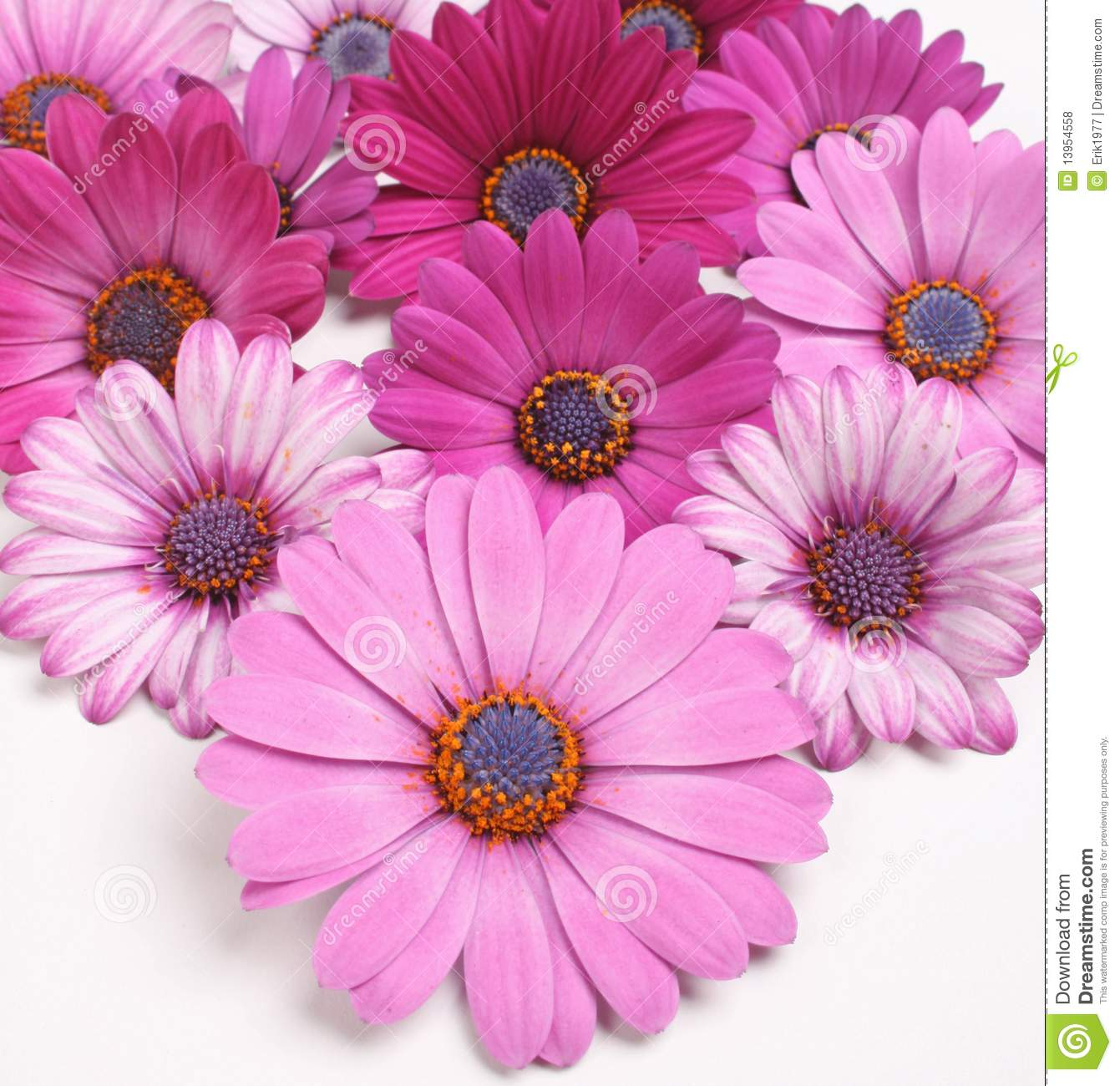 Daisy Flowers Stock Photo Image Of Bloom Flower Decoration 13954558