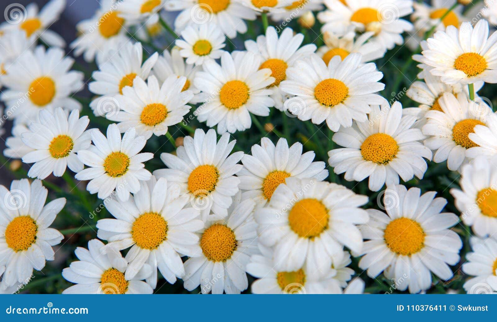 macro of white daisies flowers stock image image of garden
