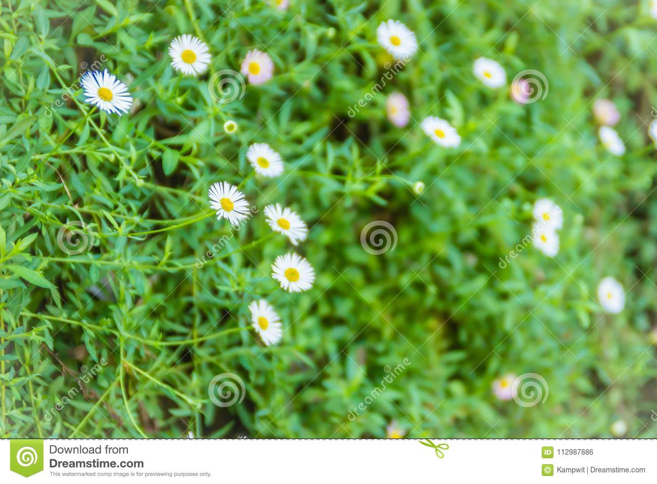 Daisy flowers blooming on green leaves background.
