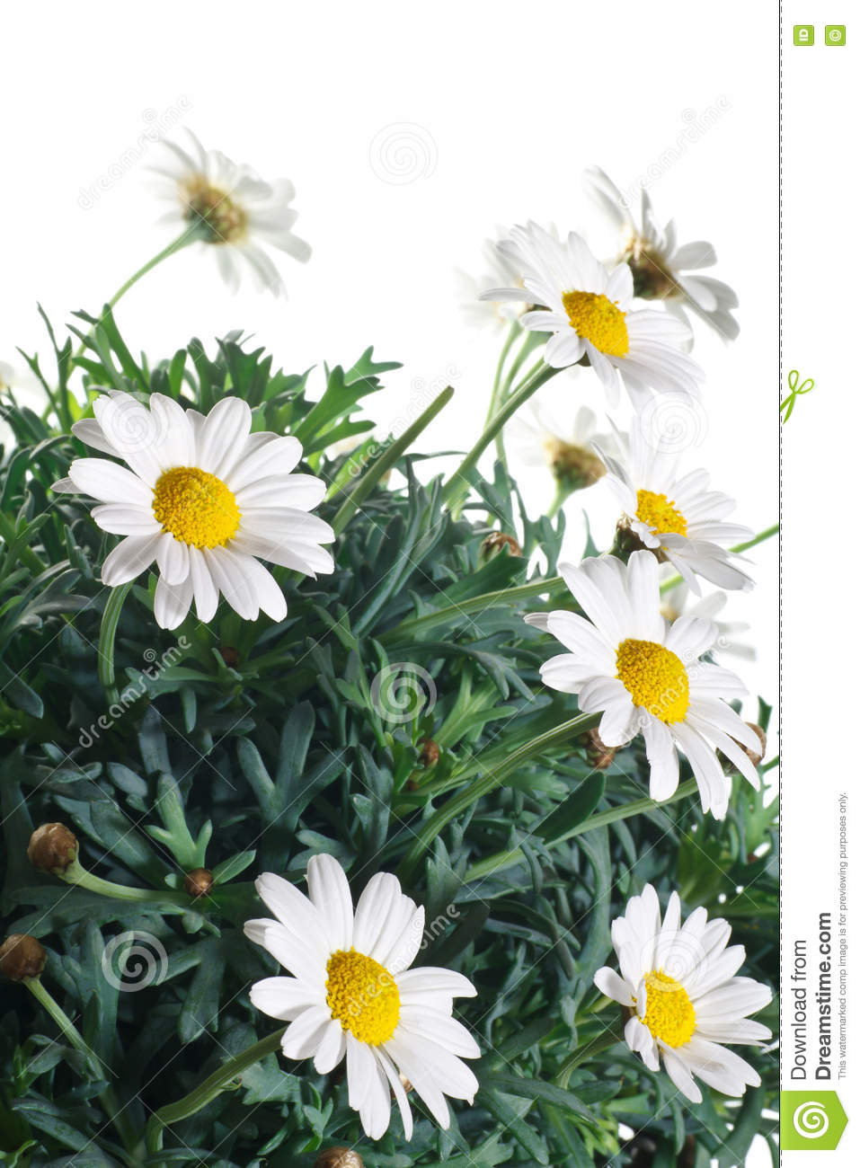 Daisy Flowers And Leaves Stock Image Image Of Gardening 73298957