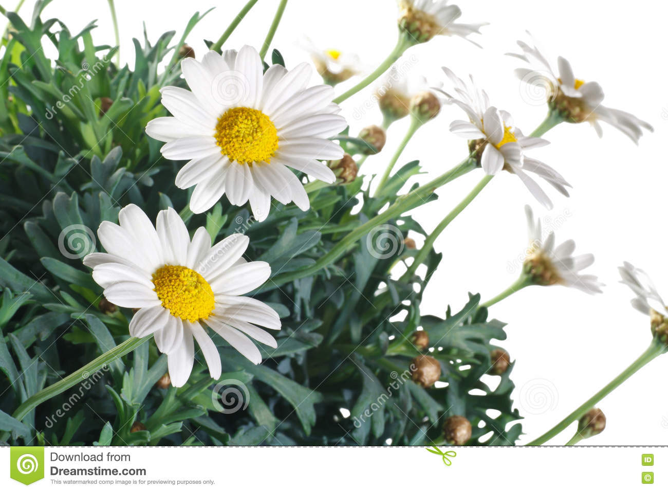 Daisy Flowers And Leaves Stock Image Image Of Botany 73298989