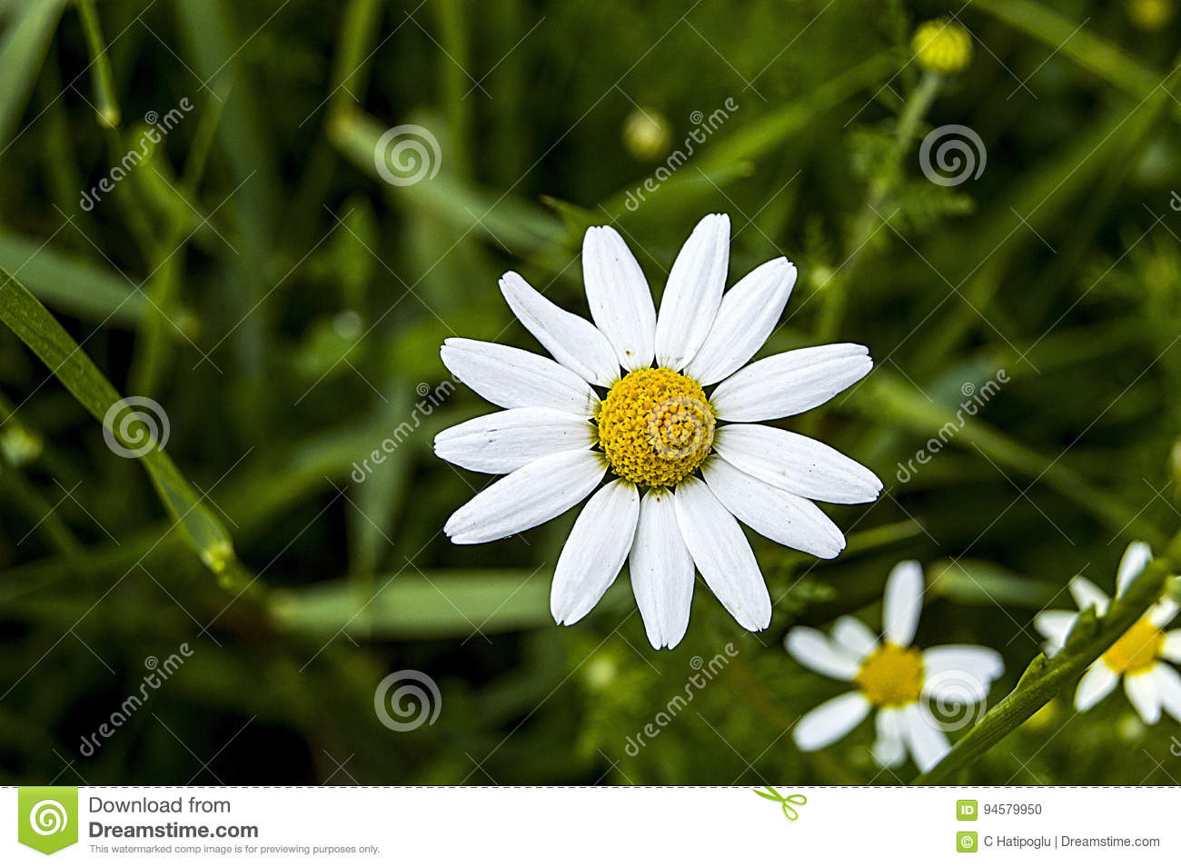 Daisy flowers pictures of daisy flowers for lovers day the most royalty free stock photo izmirmasajfo Images