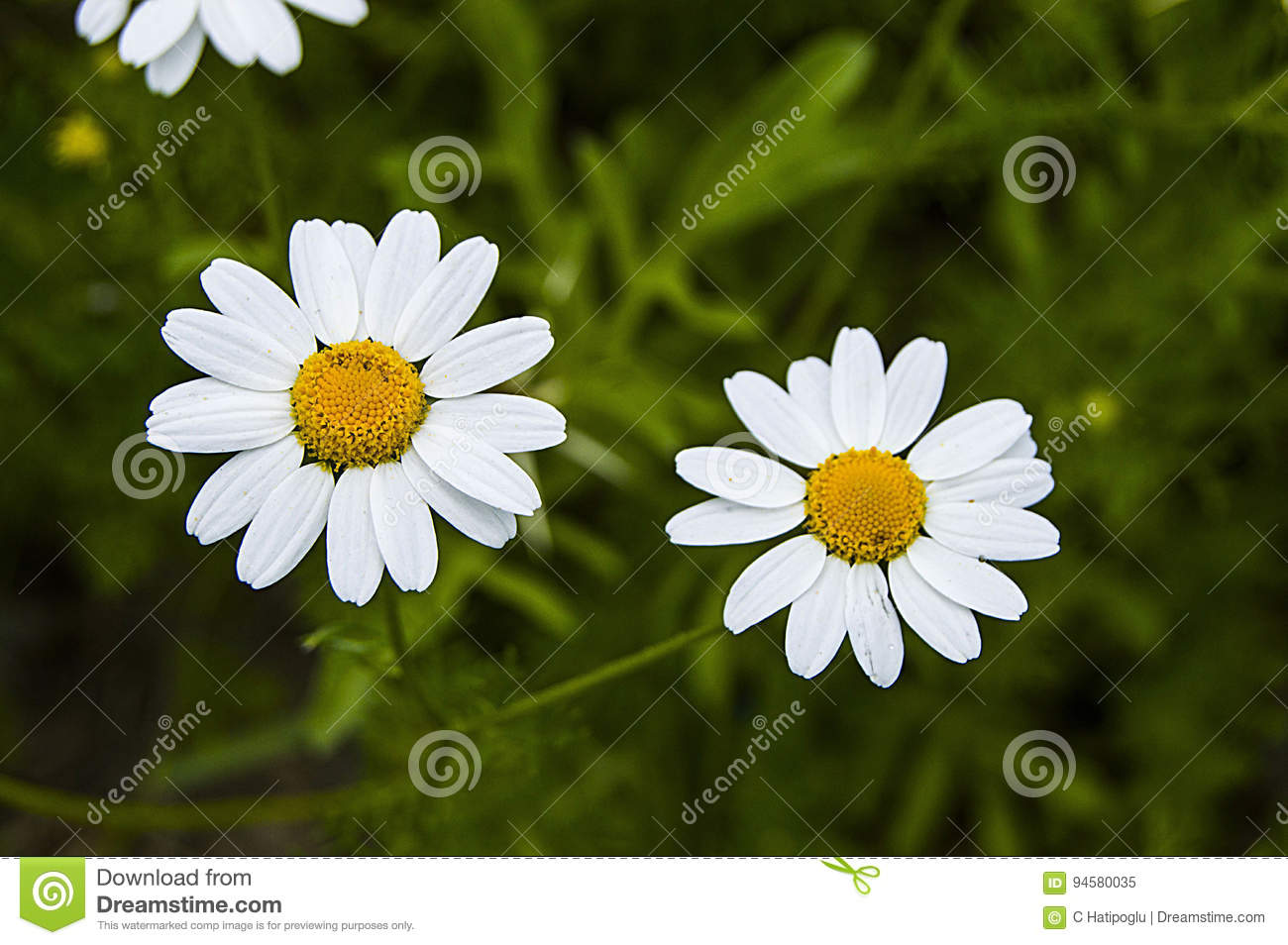 Daisy Flowers Pictures Of Daisy Flowers For Lovers Day The Most