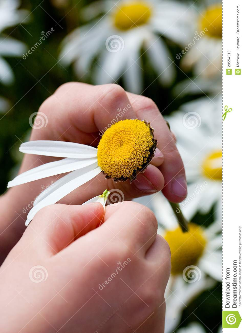 child picking petals off of a daisy playing the game she loves me ...
