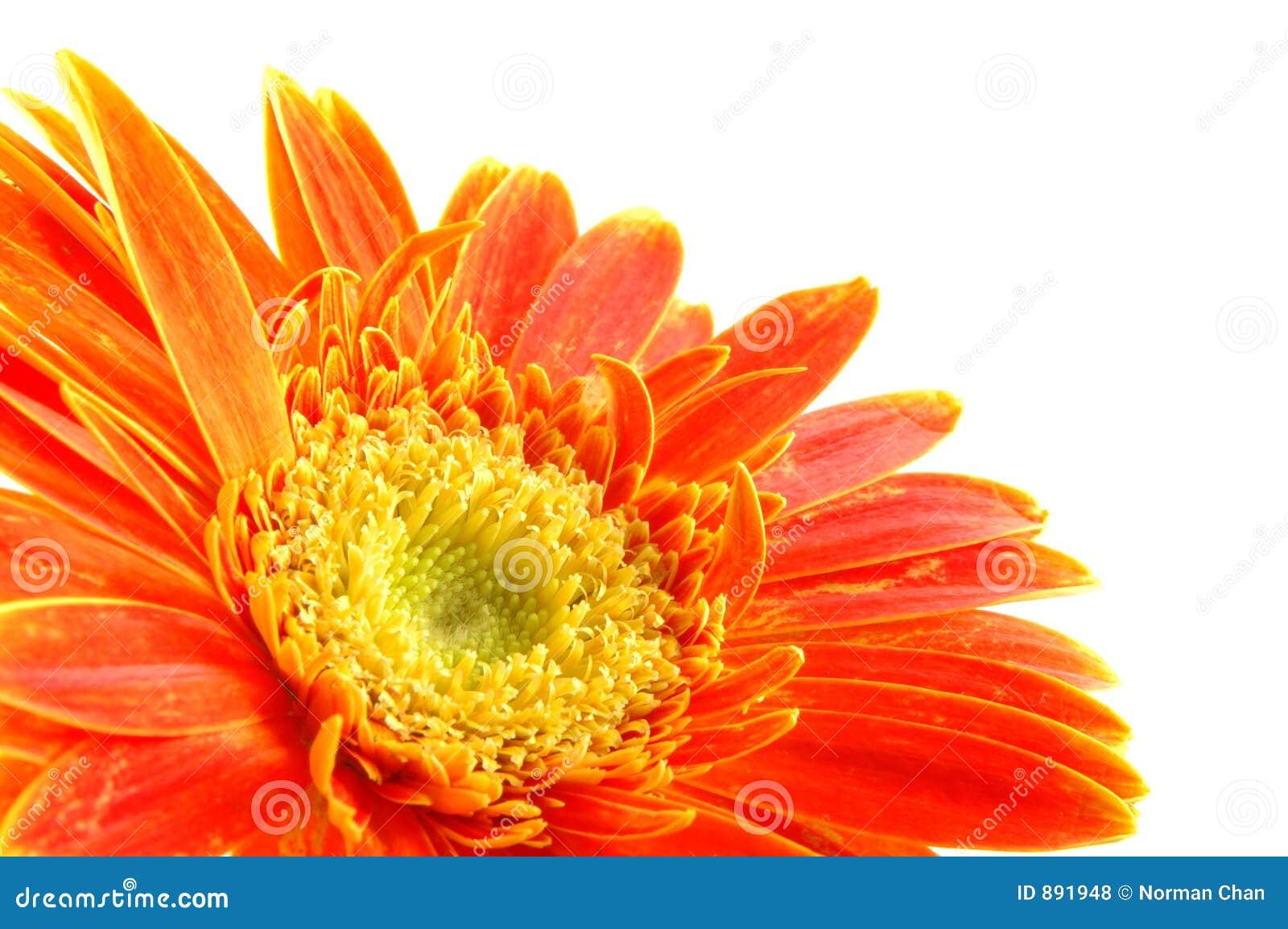 Daisy gerber pomarańcze