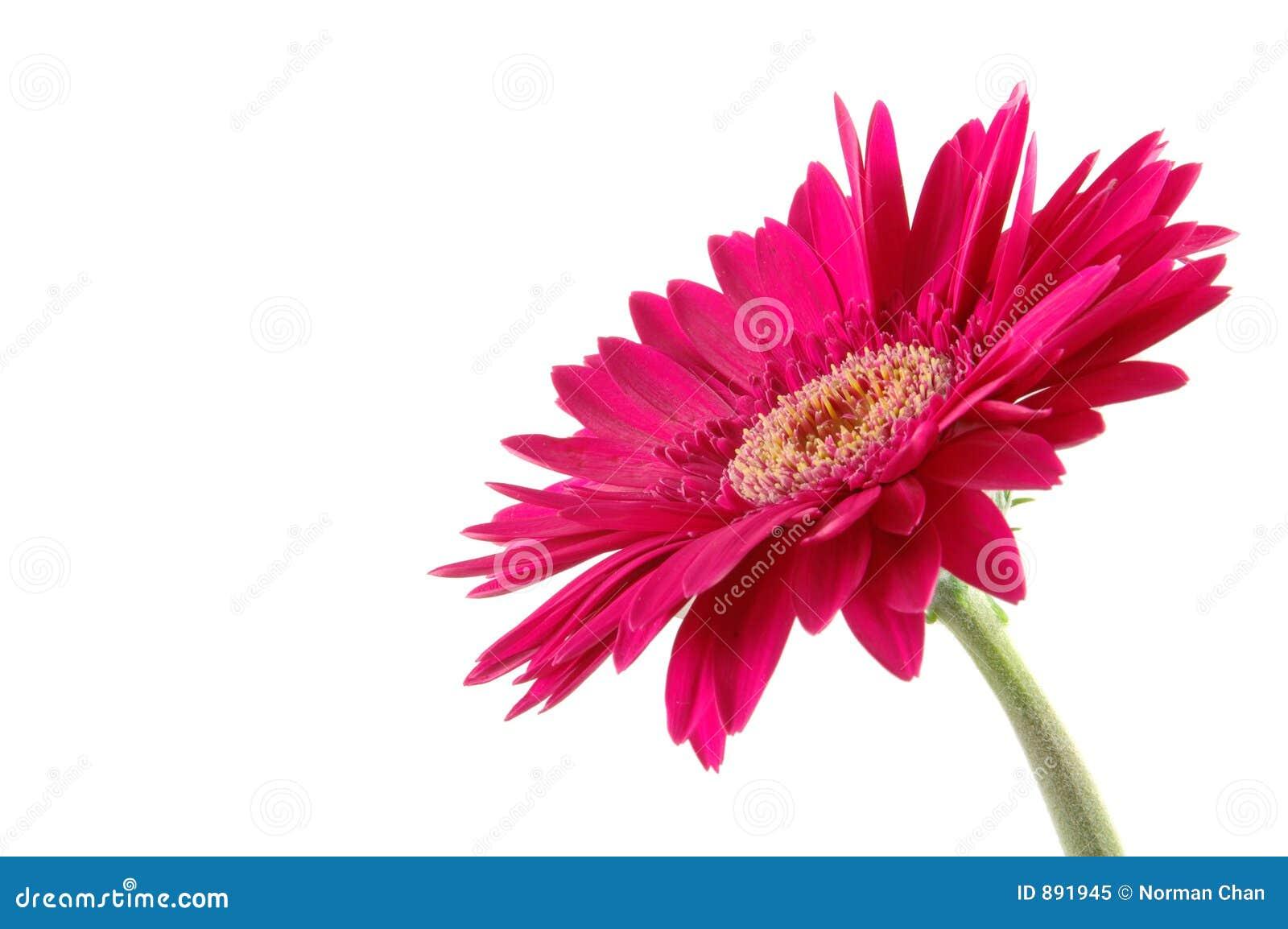 Daisy gerber różowy