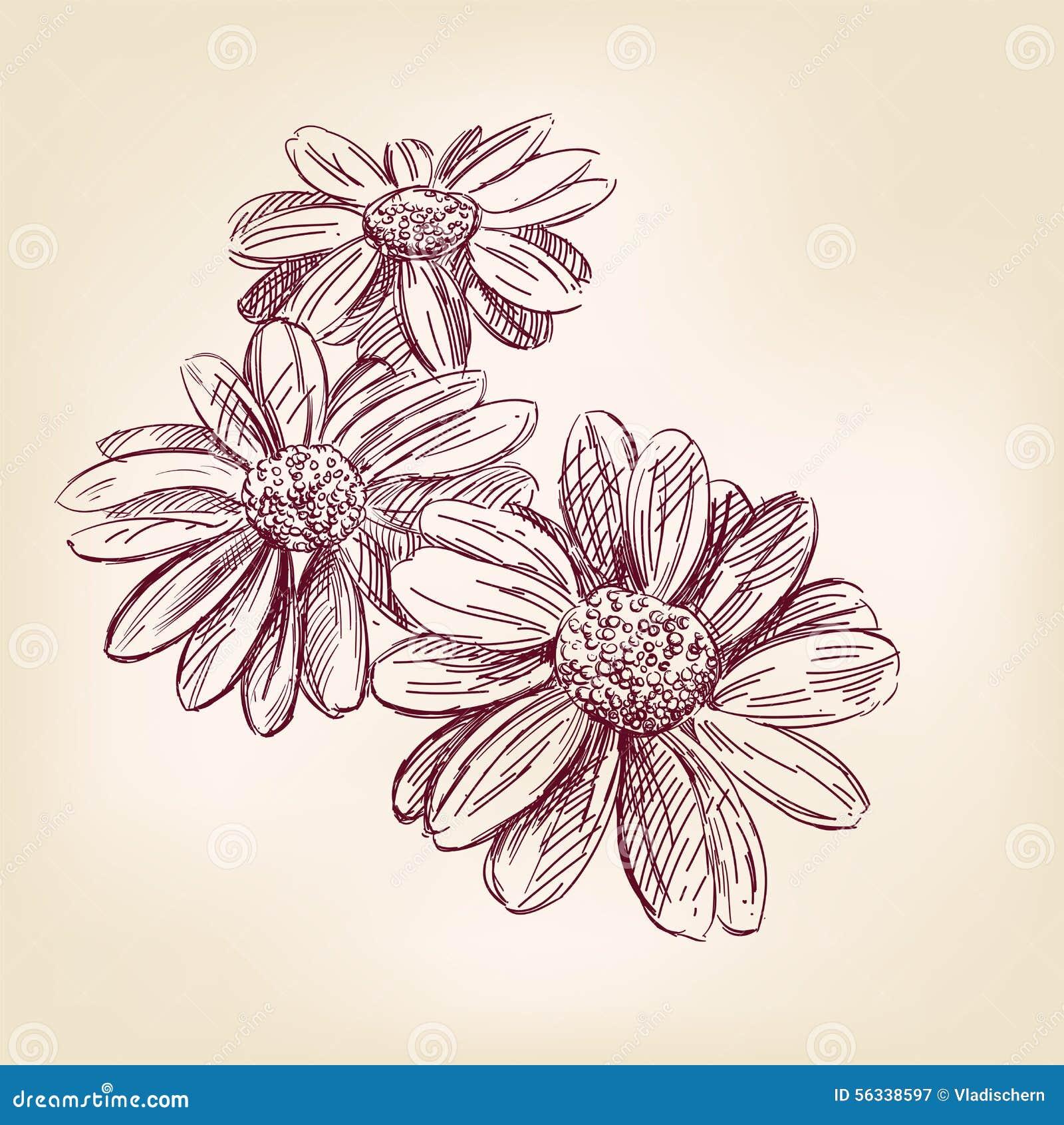 Daisy Color Sketch Flower Pencil Stock Photos Images