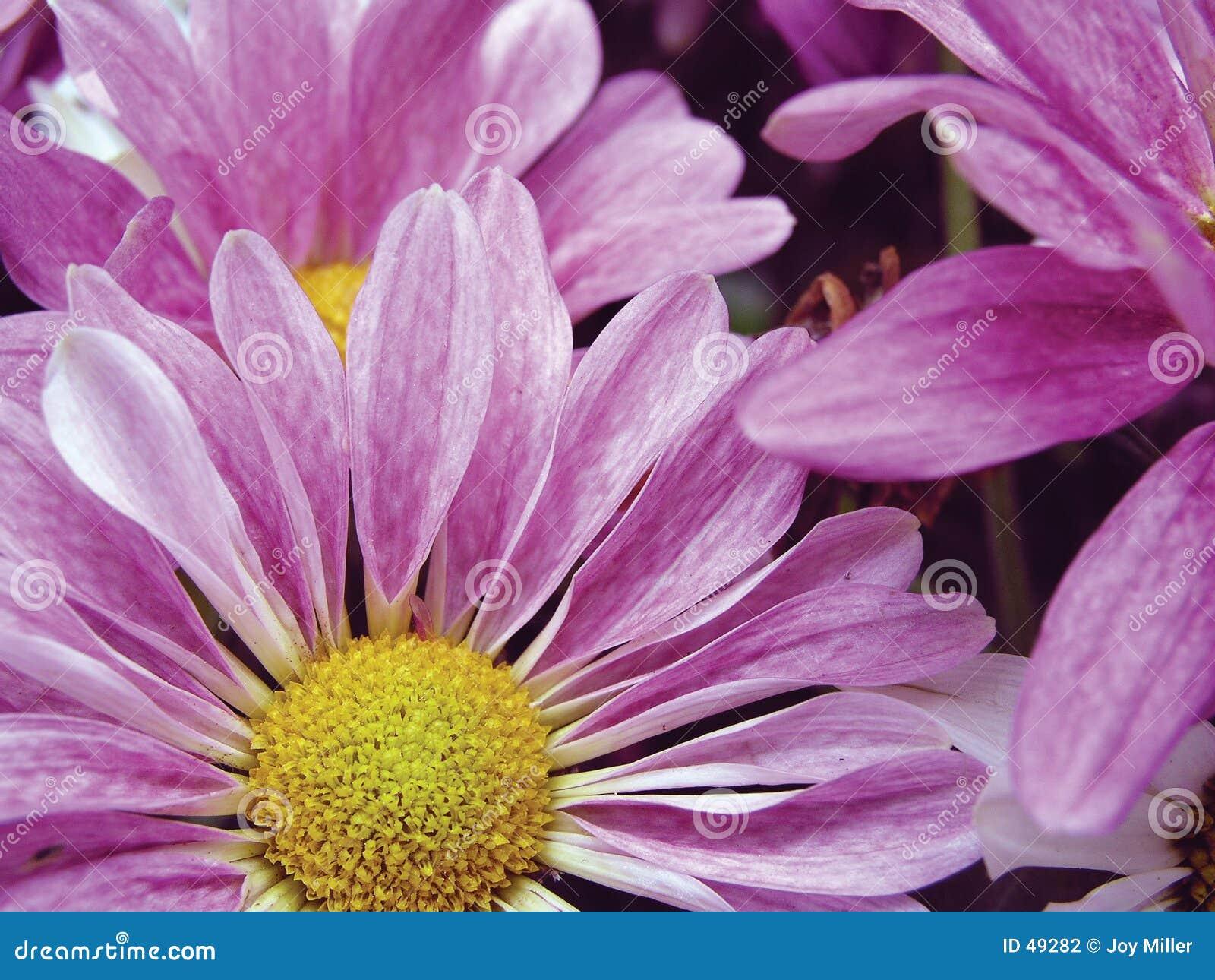 Daisy lawendowe