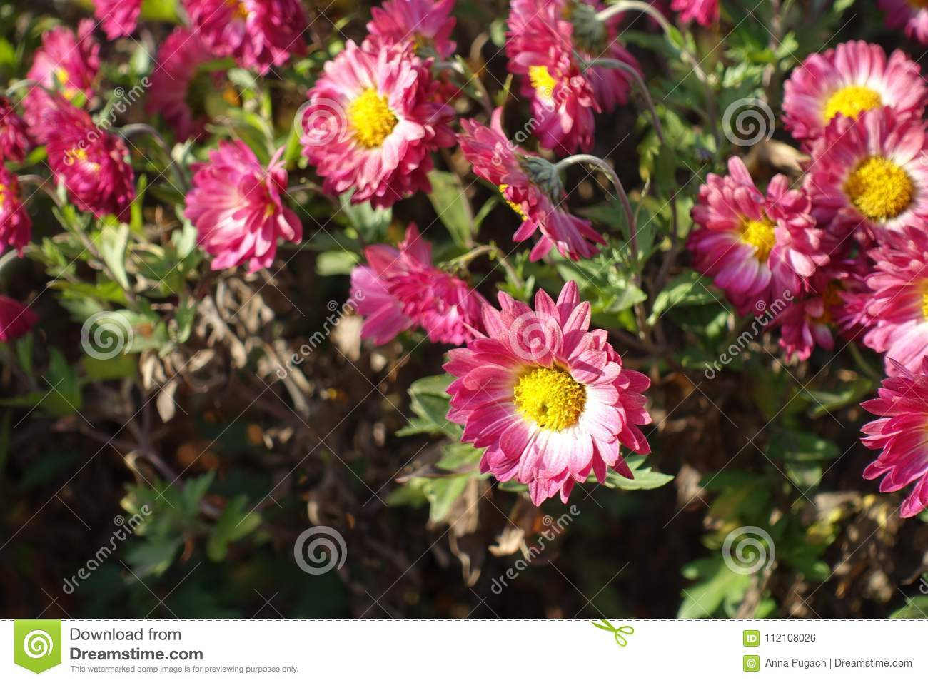 Daisy Like Flowerhead Of Chrysanthemum With Yellow Center And Pink