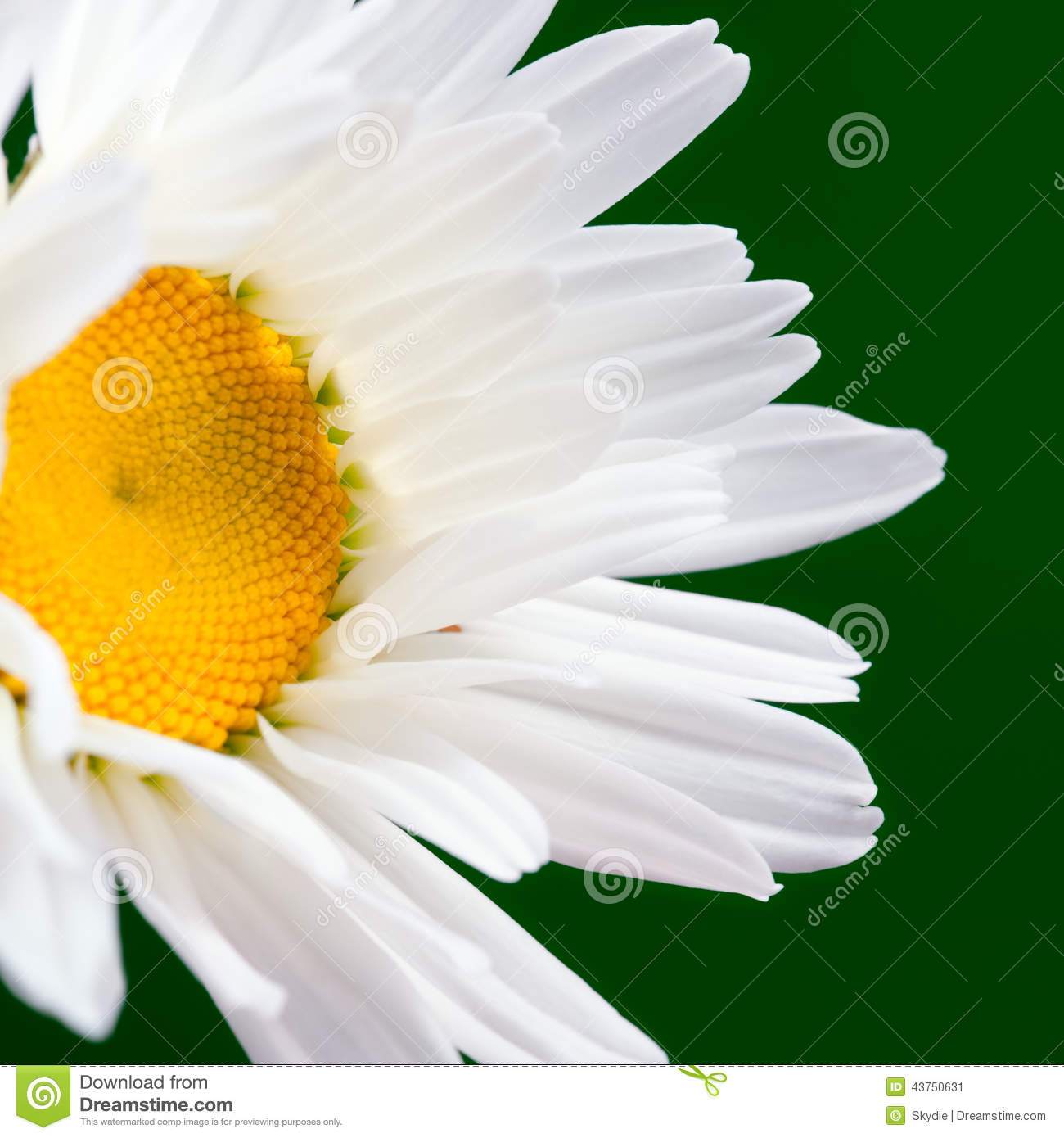 The daisy like stock image image of leucanthemum pollen 43750631 the daisy like izmirmasajfo