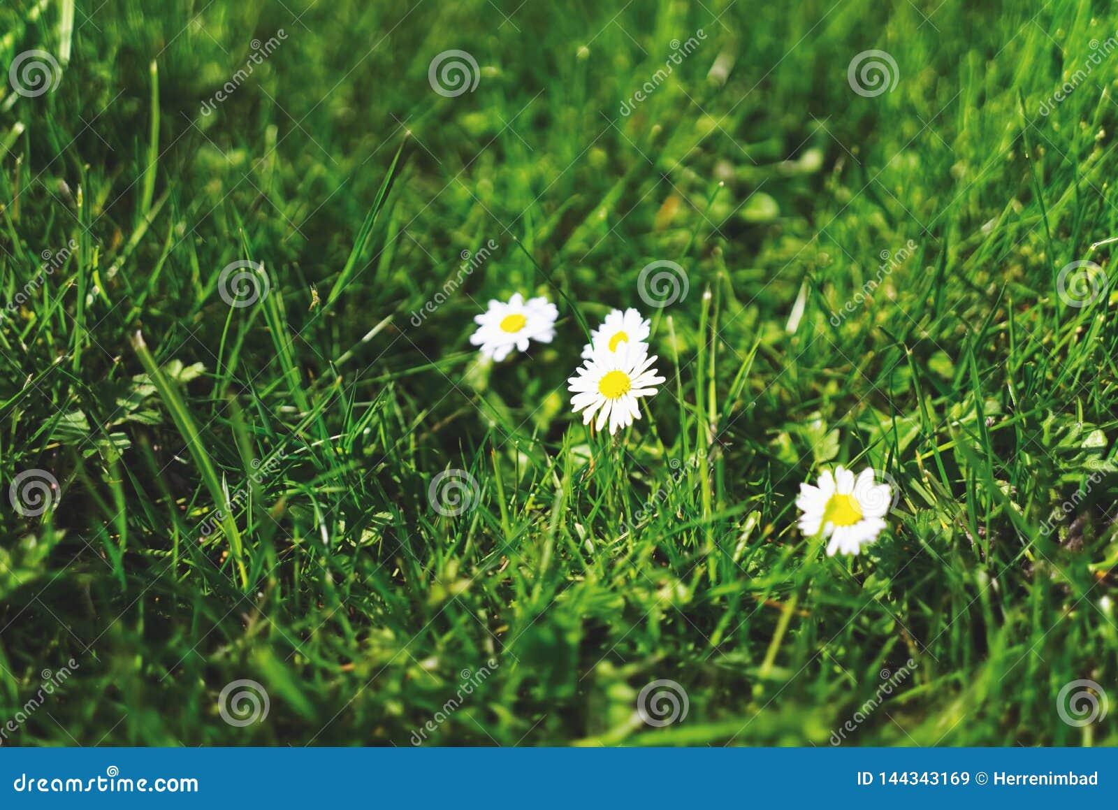 Daisy op Groen Gras