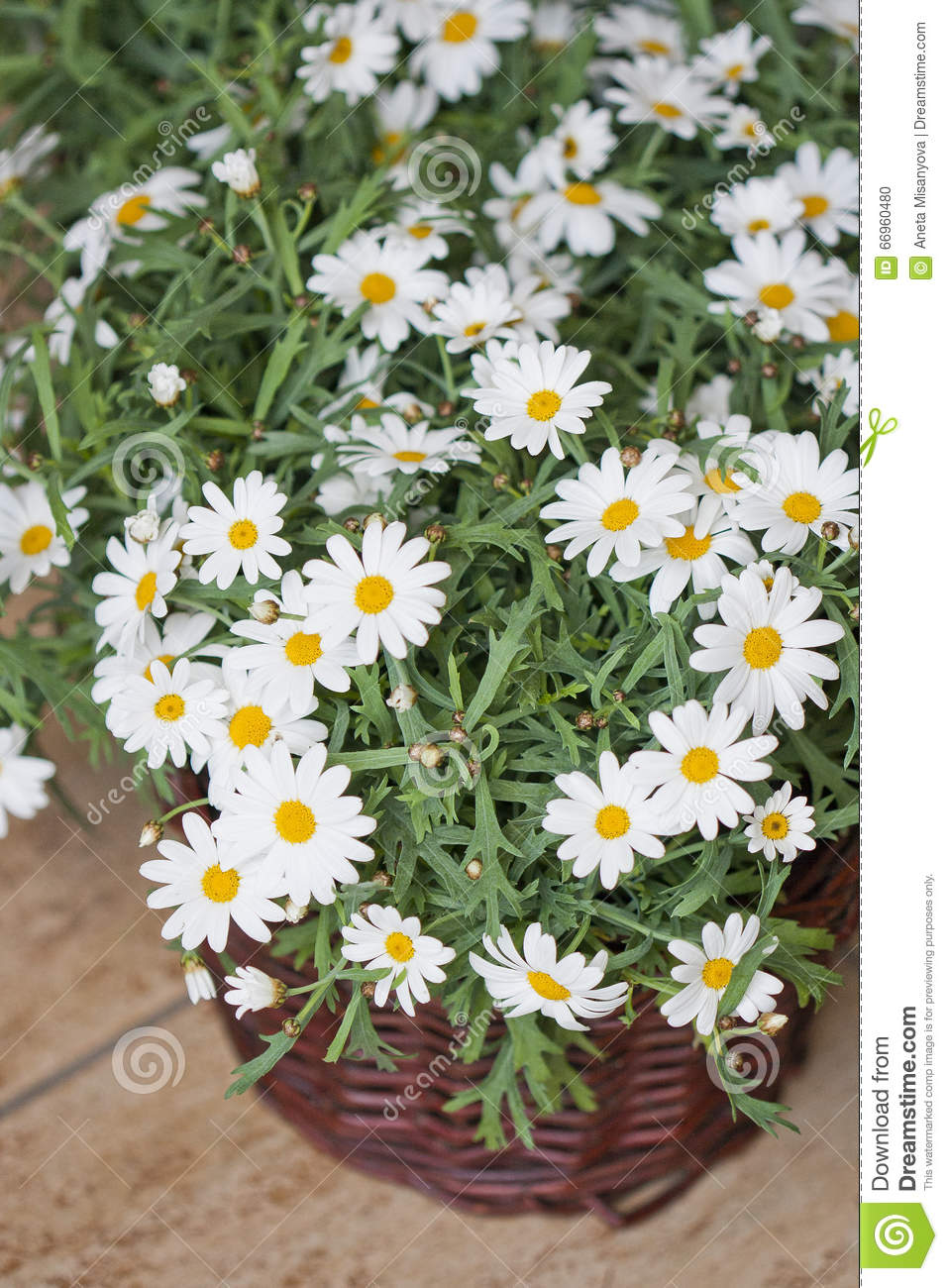 Daisy Plant In Flowershop Stock Photo Image Of Campanula 66960480