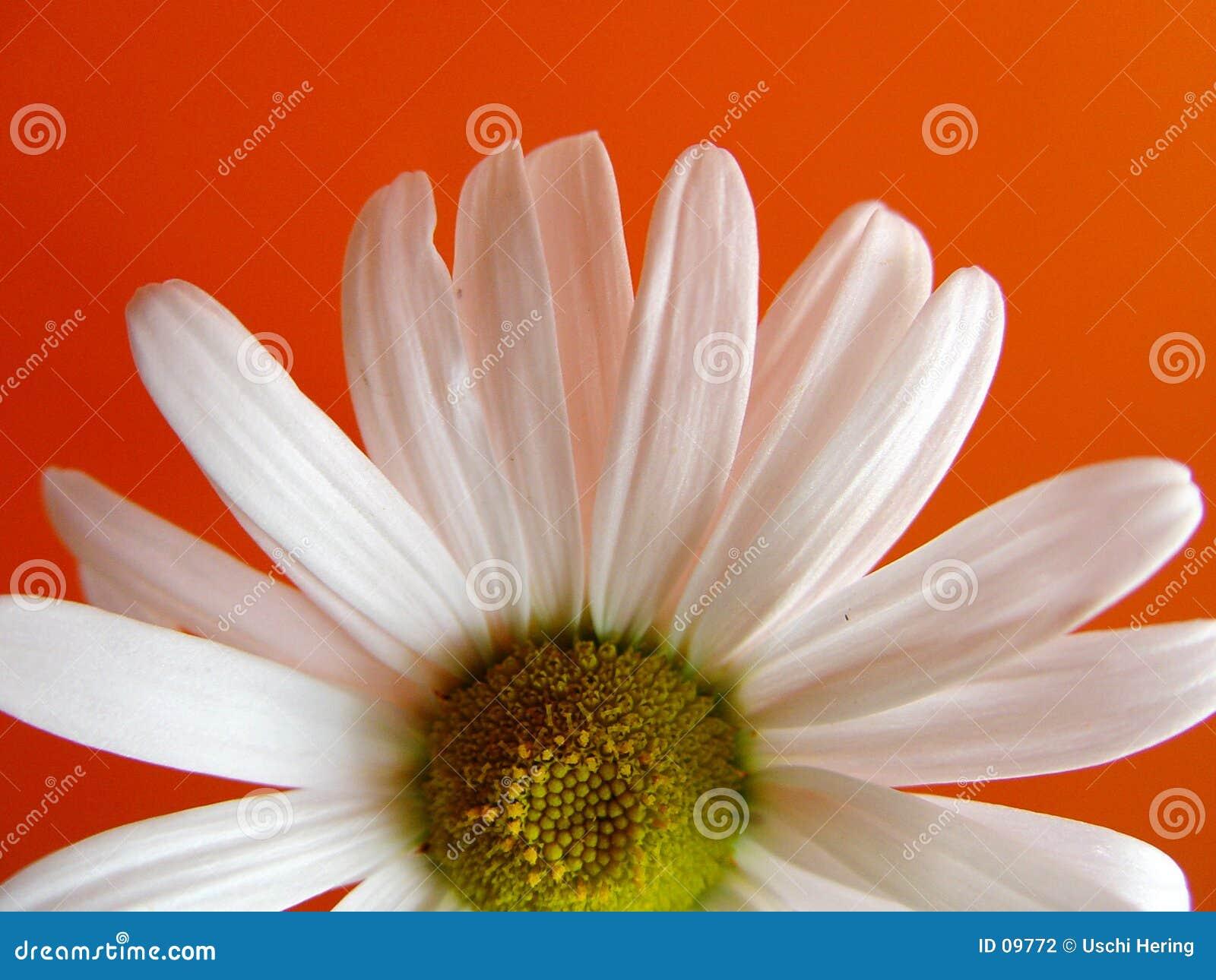 Daisy pomarańcze lato