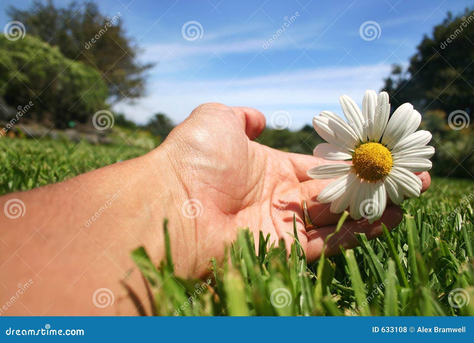 Daisy ręka