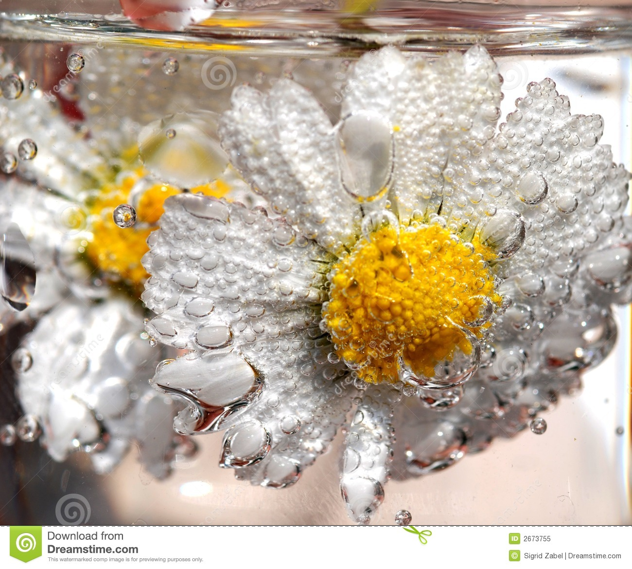 Daisy in sparkling water