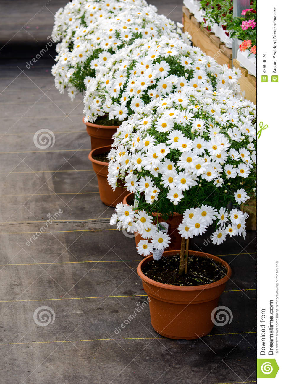 Daisy Trees Stock Photo Image Of Blooms Pots Vertical 43694024