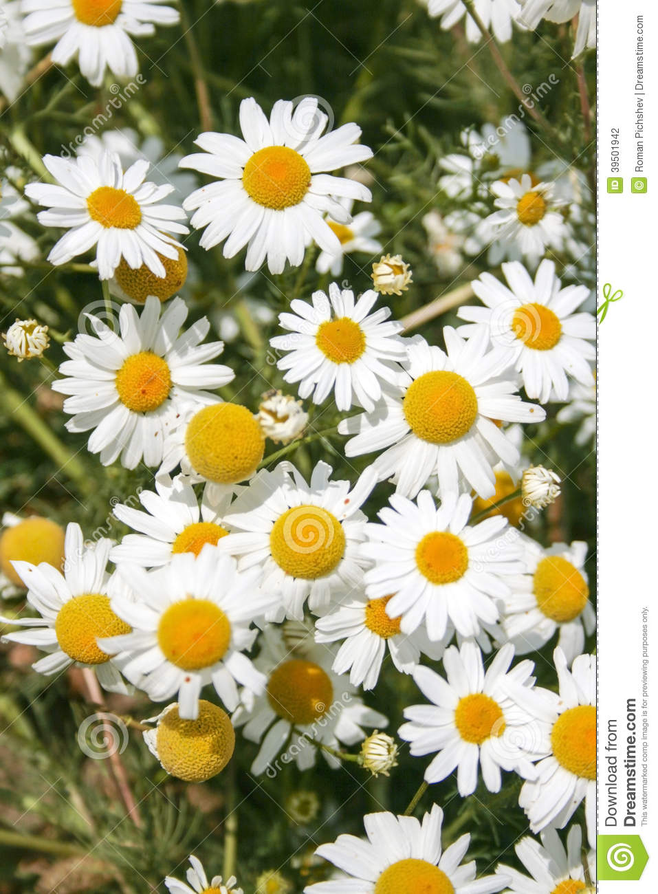 Daisy wheel field