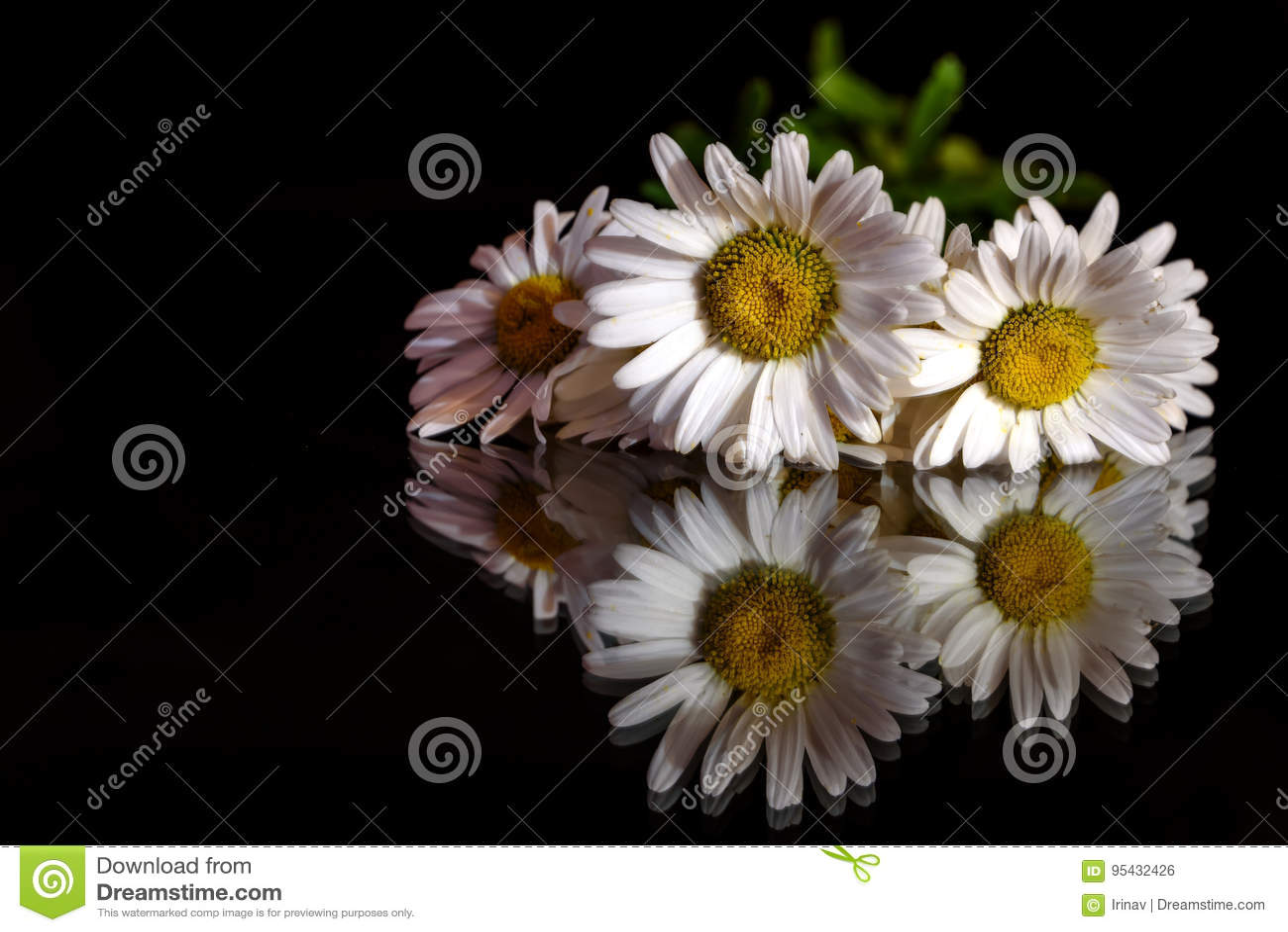 Daisy white flower black background stock photo image of glass download daisy white flower black background stock photo image of glass decoration 95432426 izmirmasajfo