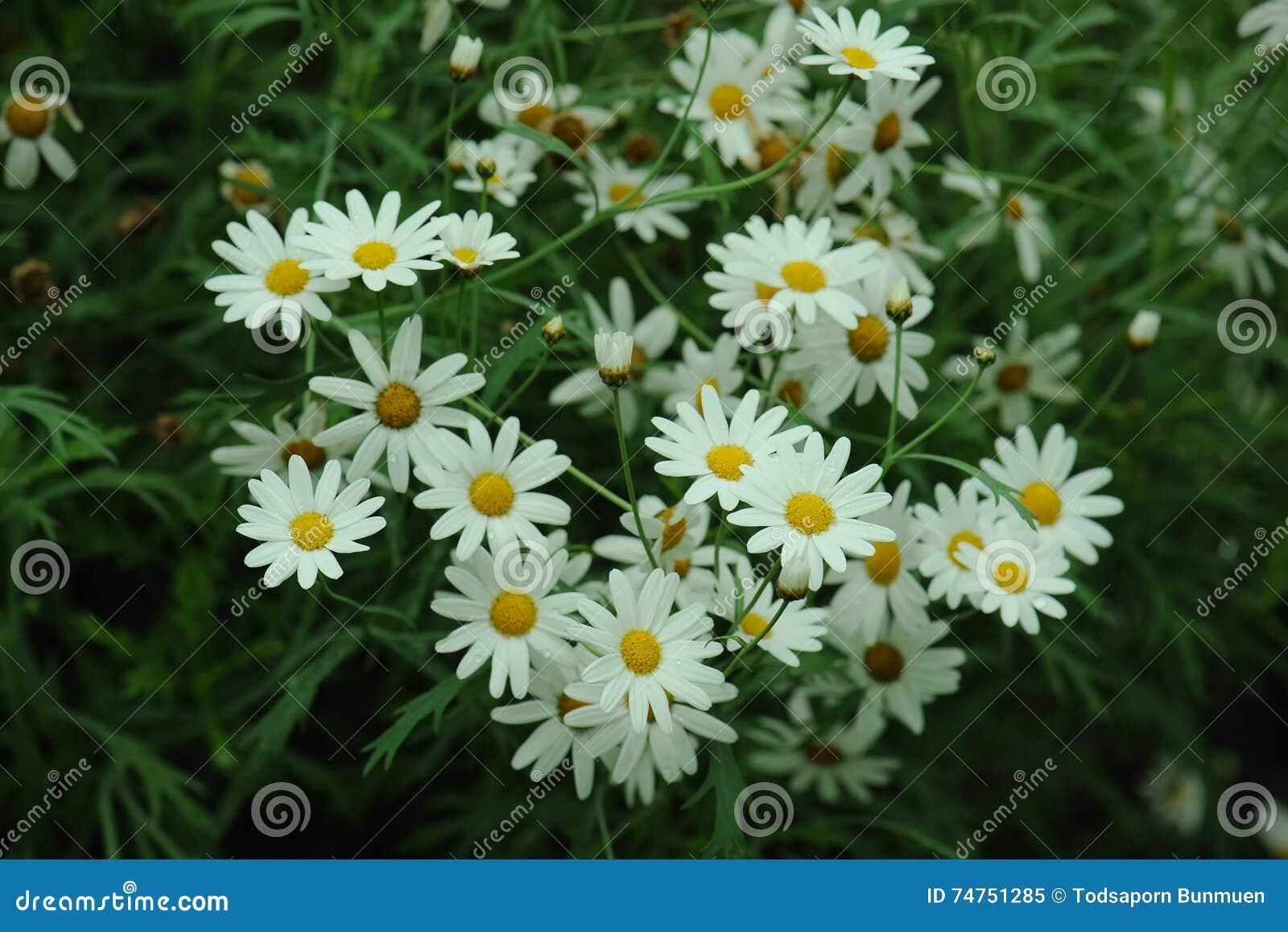 Daisy white flower in garden mild soft stock image image of daisy white flower in garden mild soft izmirmasajfo