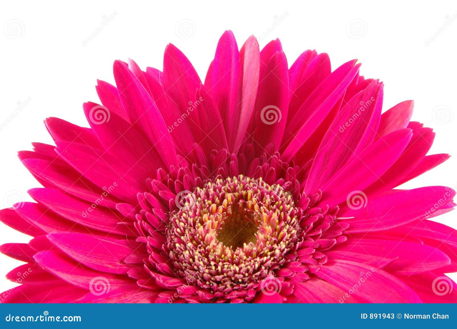 Daisy zamknięcia gerber różowy,