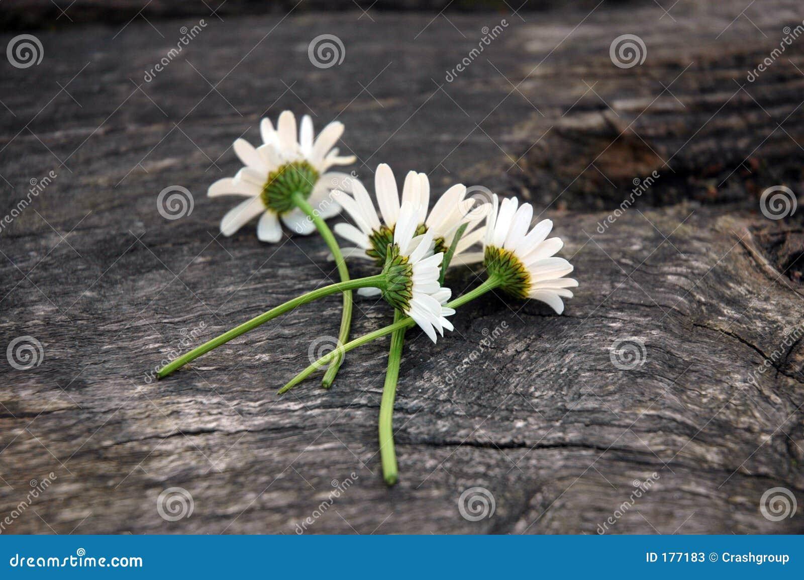 Daisys blancos
