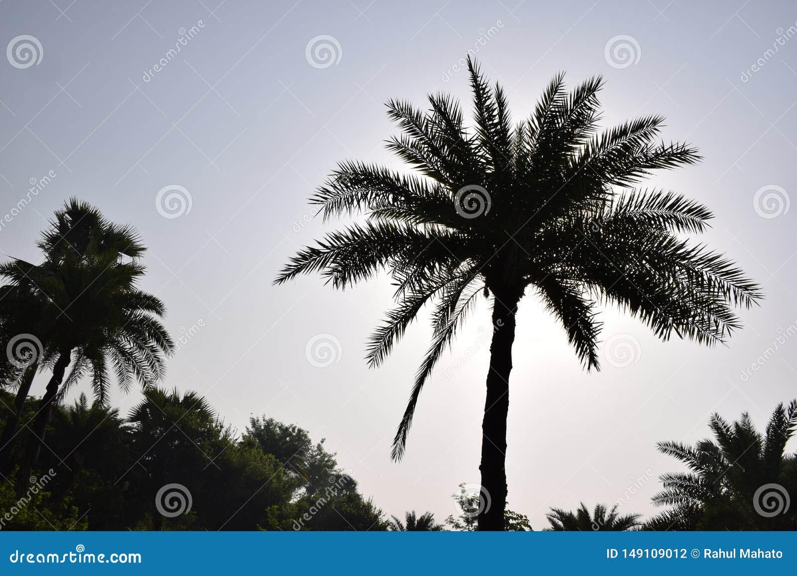 Daktylowy drzewko palmowe prz?d wsch?d s?o?ca przy wczesnego poranku krajobrazem