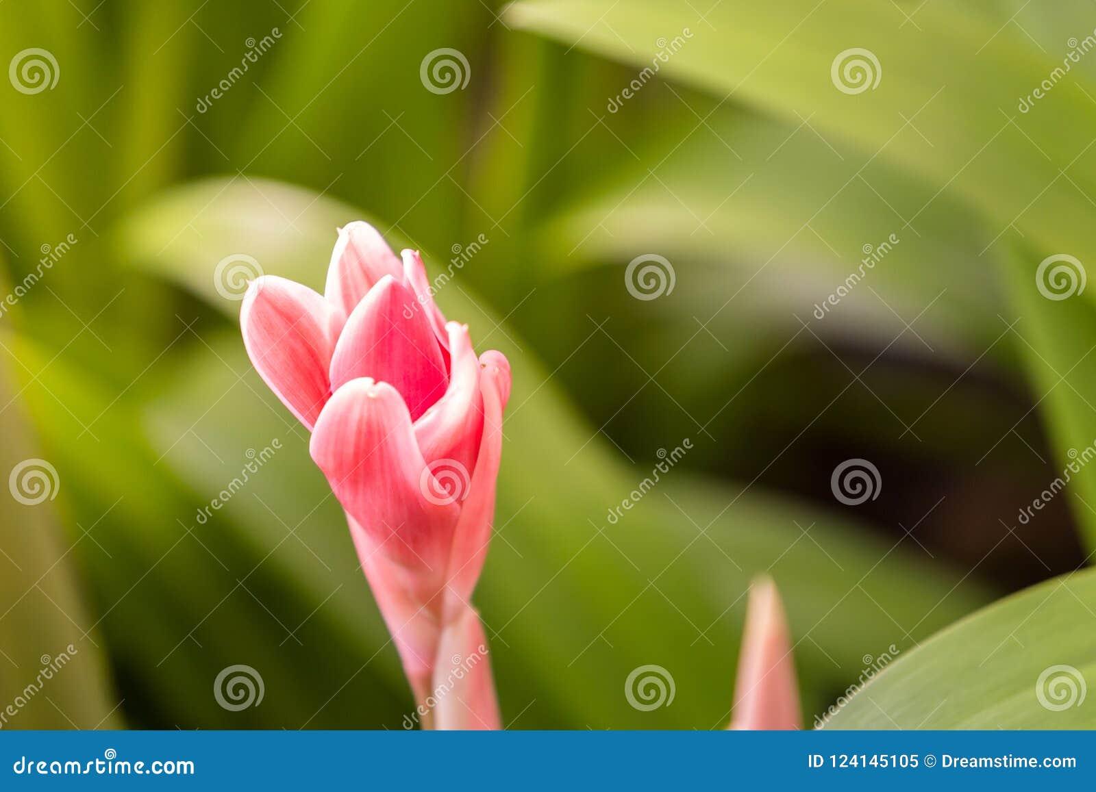 Dala flower pink flowers in the garden are beginning to bloom download dala flower pink flowers in the garden are beginning to bloom beautifully stock mightylinksfo