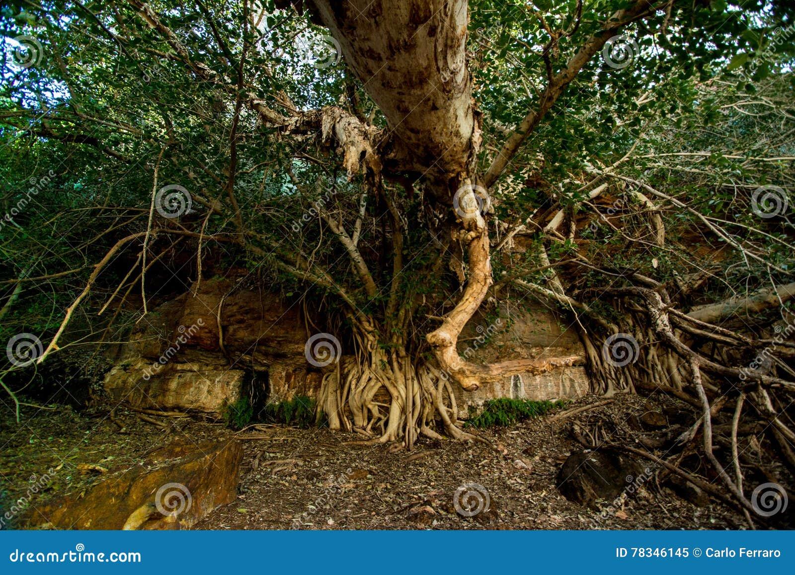 Dales Gorge tree, Karijini National Park