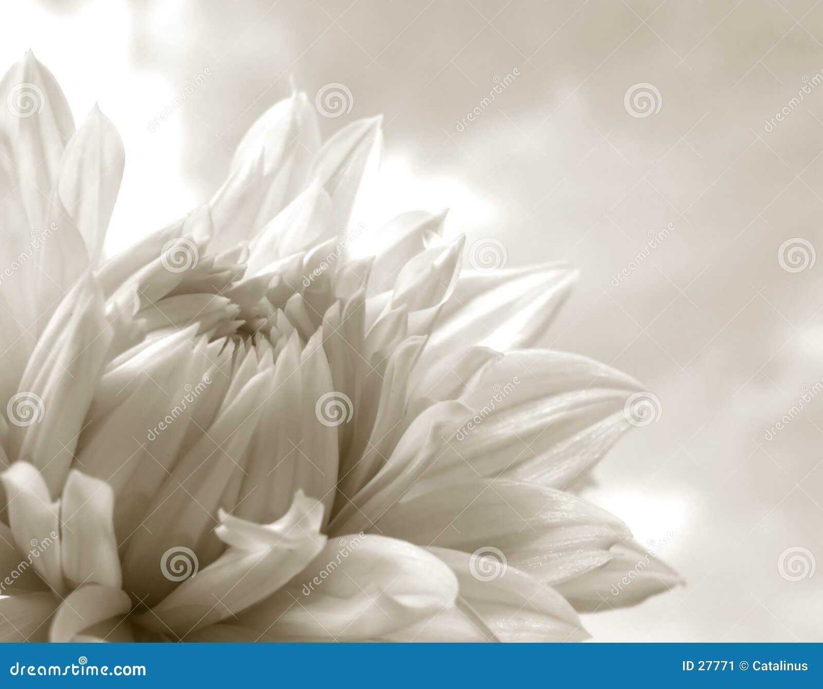 Download Dalia blanca imagen de archivo. Imagen de otoño, botánica - 27771
