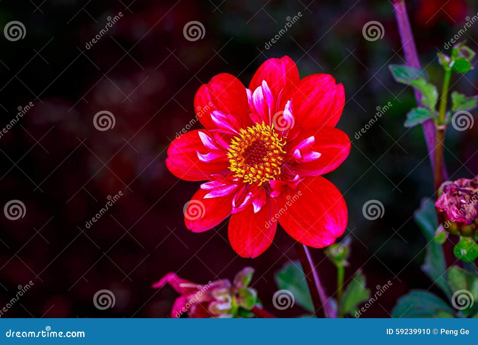 Dalia hermosa en el jardín