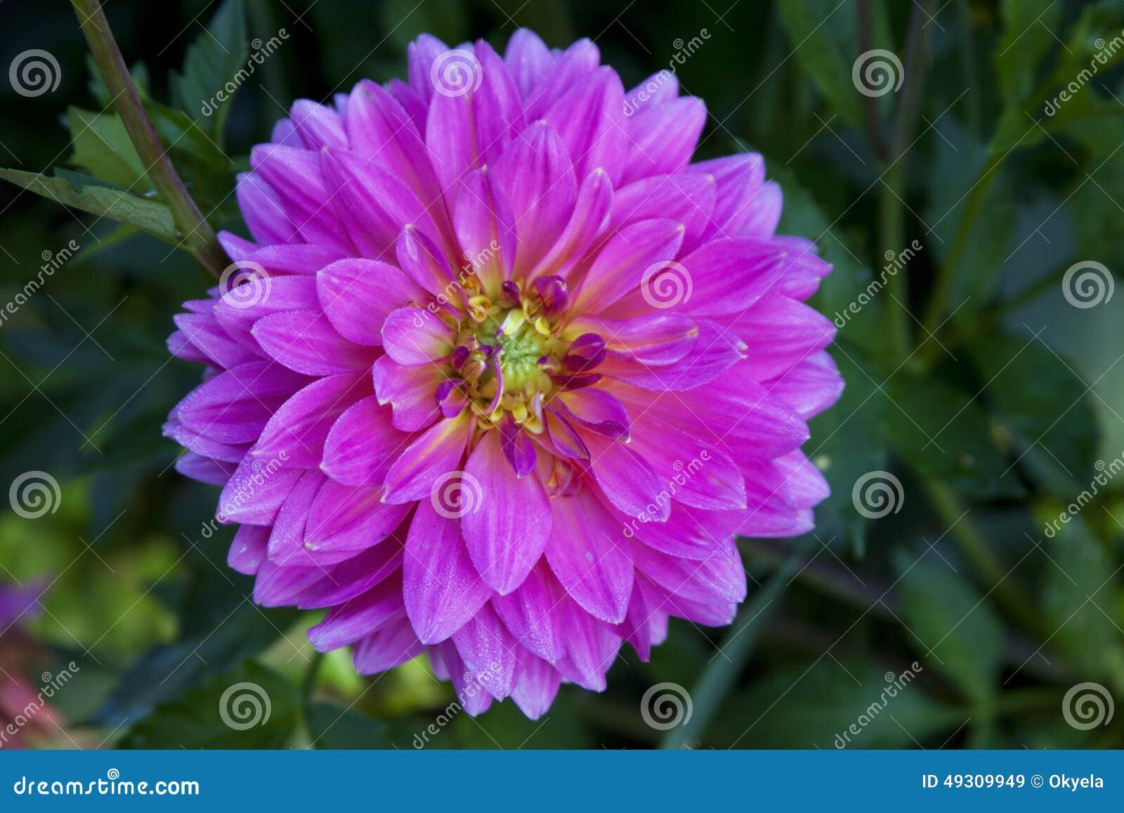 dalia rosada de las plantas de jard n de flores foto de