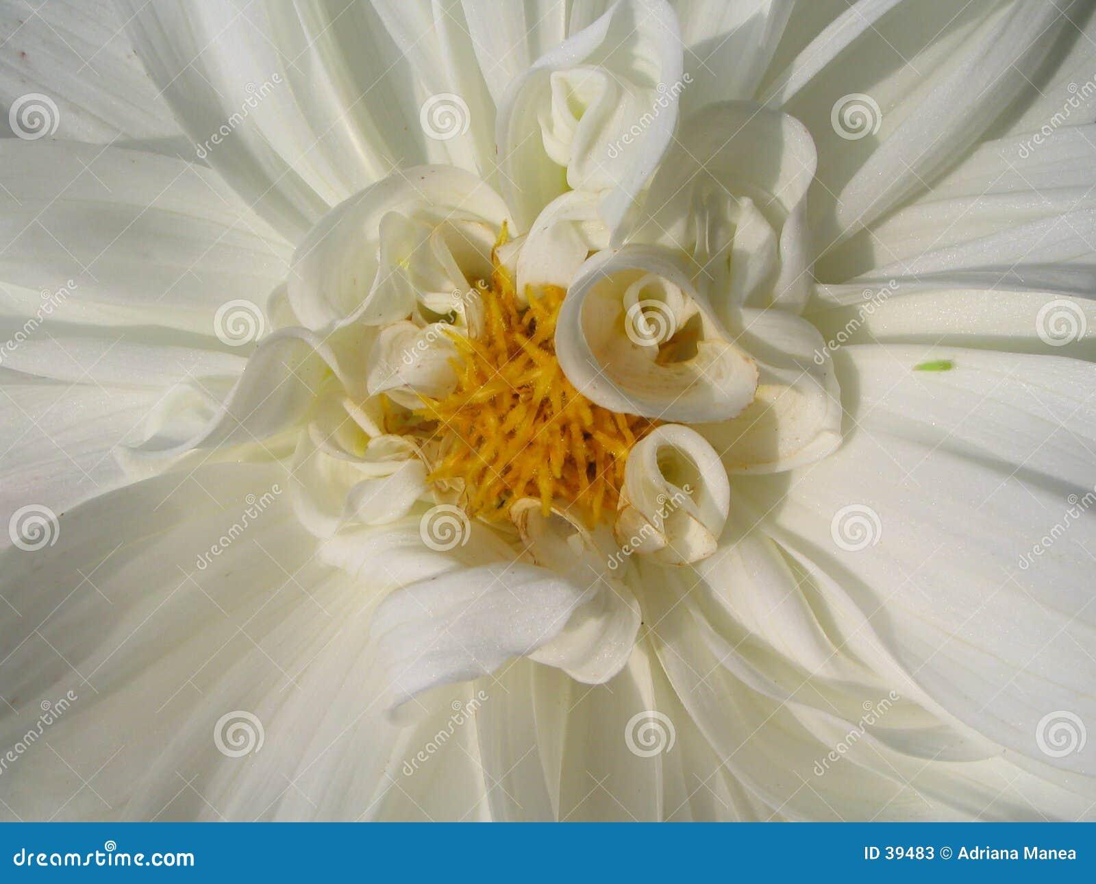 Dalia white