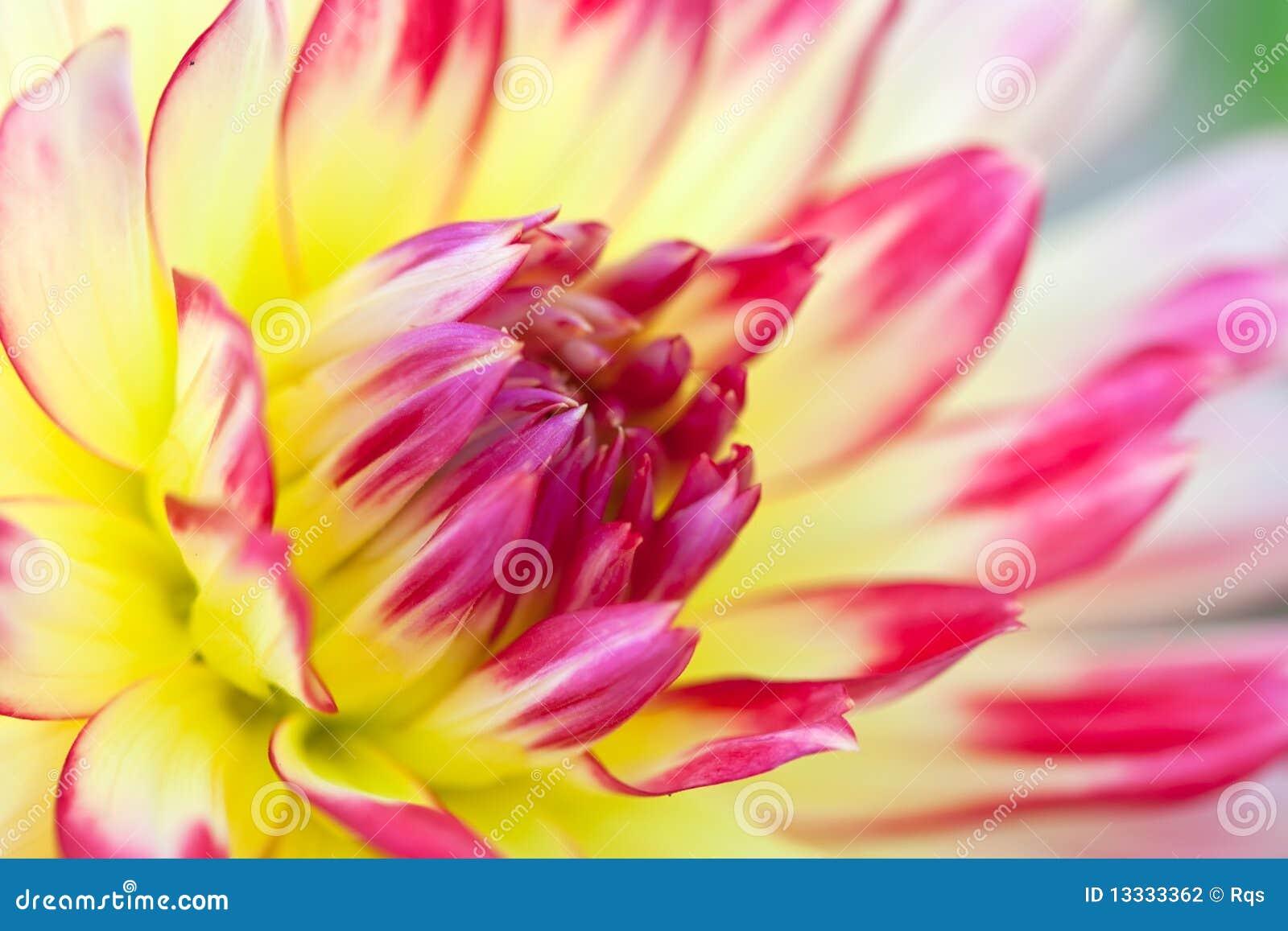 Dalii kwiatu makro- widok kolor żółty
