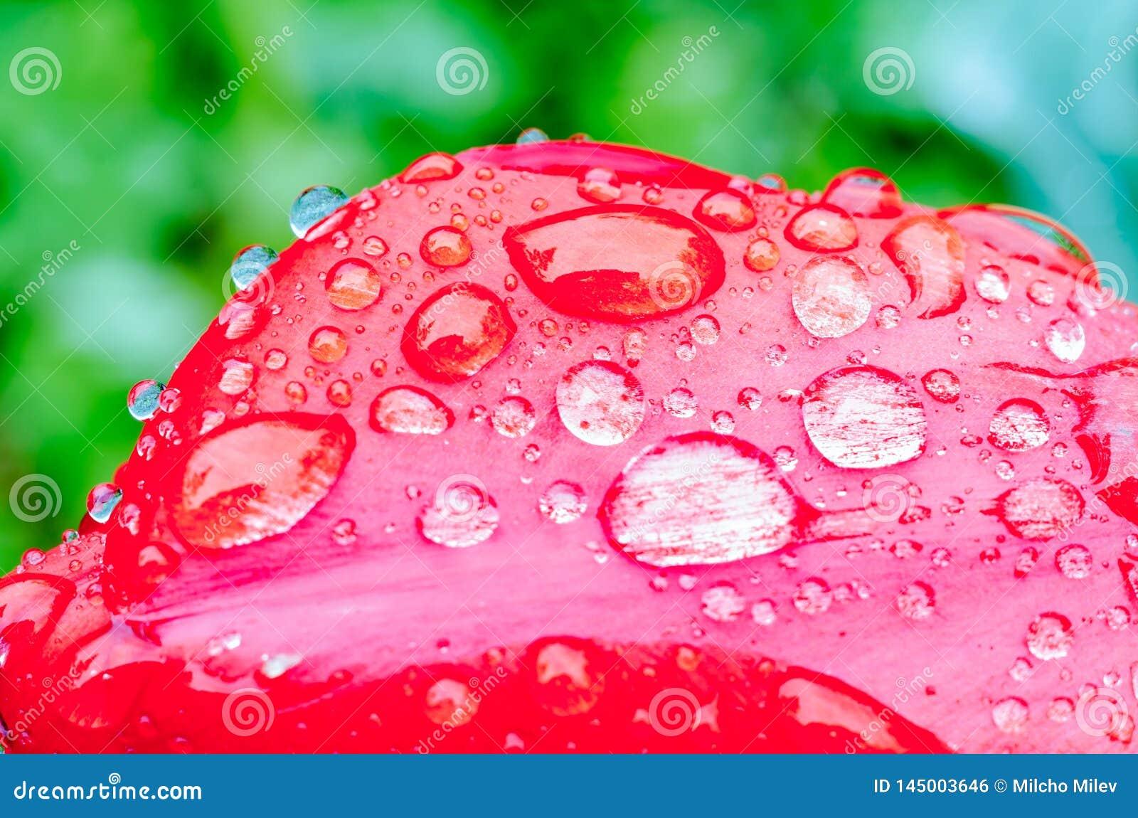 Dalingen van de lenteregen op rode tulpen