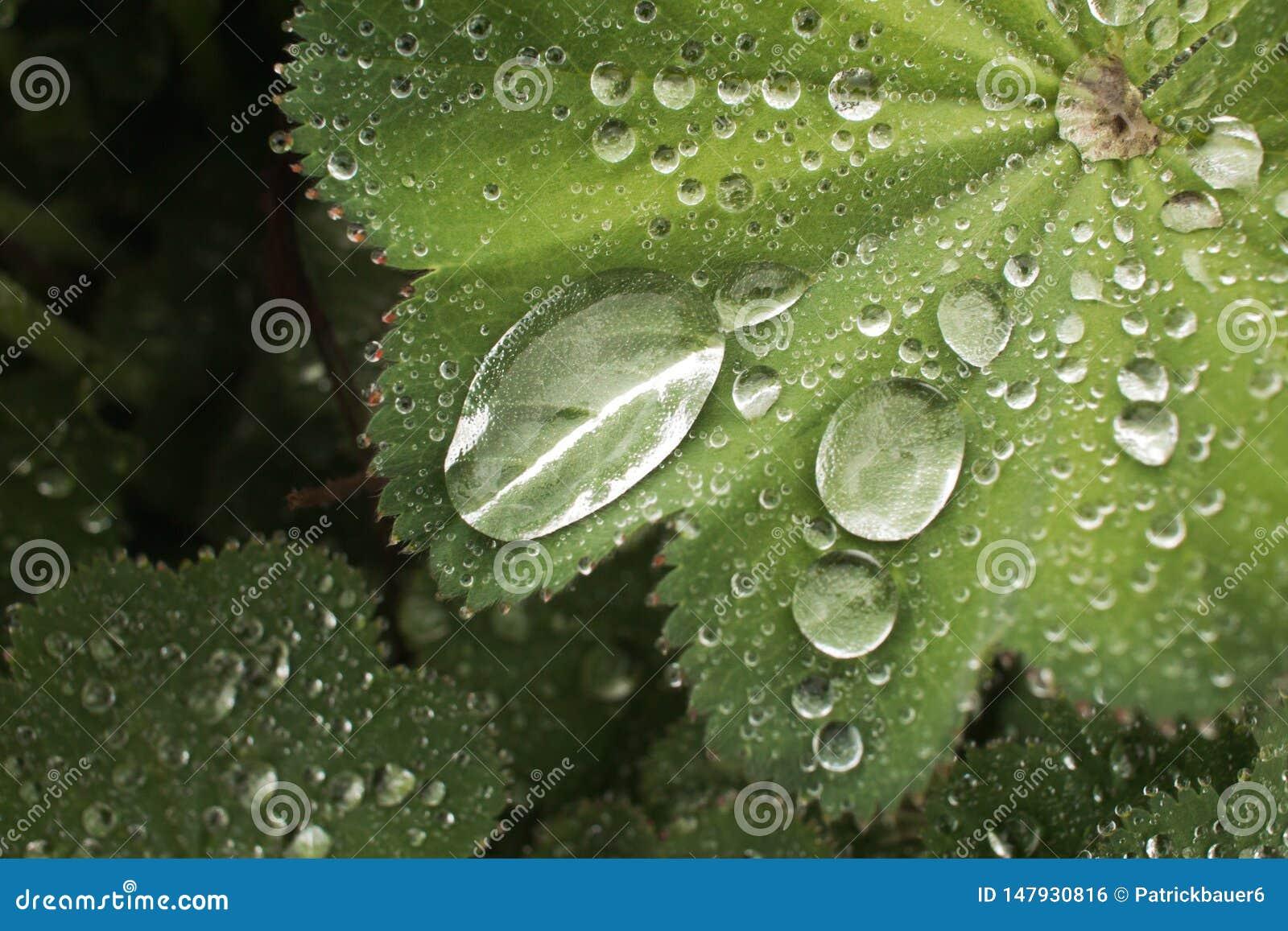 Dalingen van water op bladalchemilla