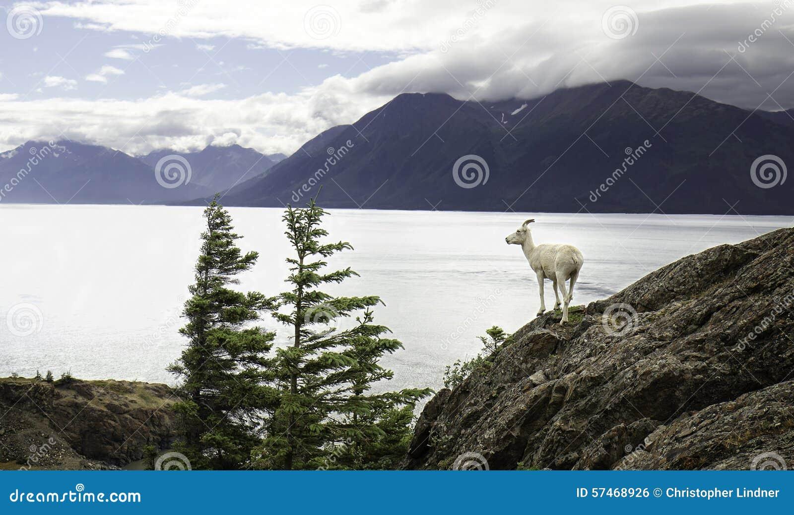 Dall-Ooi de van Alaska