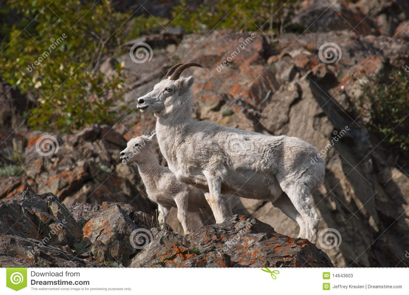 Dall Sheep Ewe and Lamb