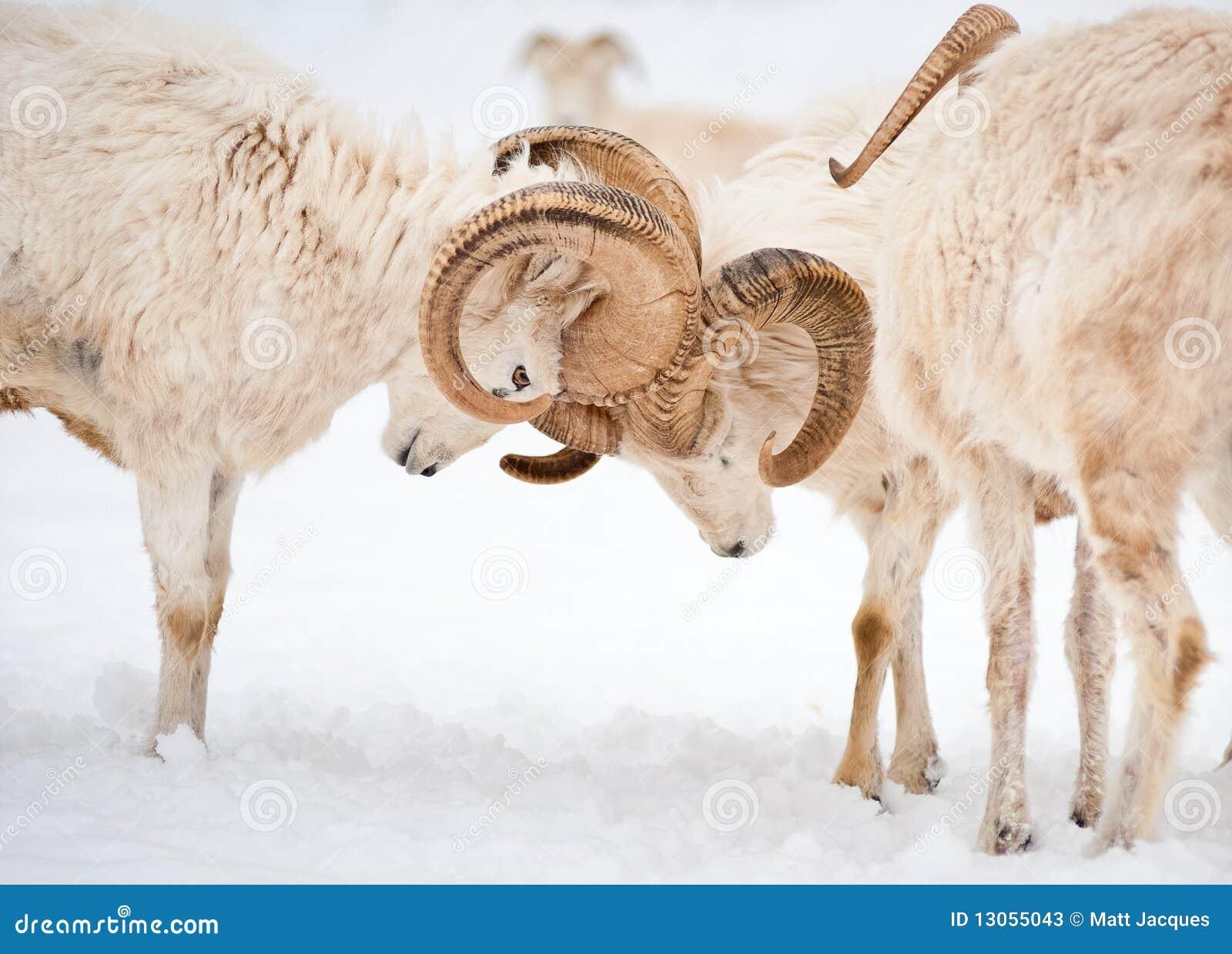 Dall Sheep Rams Lock Horns