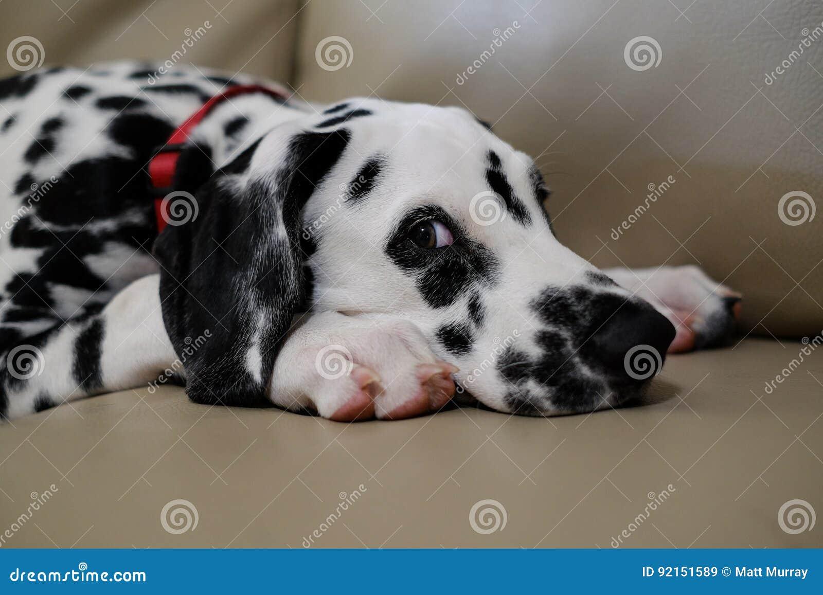 Dalmata Con Gli Occhi Del Cucciolo Di Cane Immagine Stock Immagine